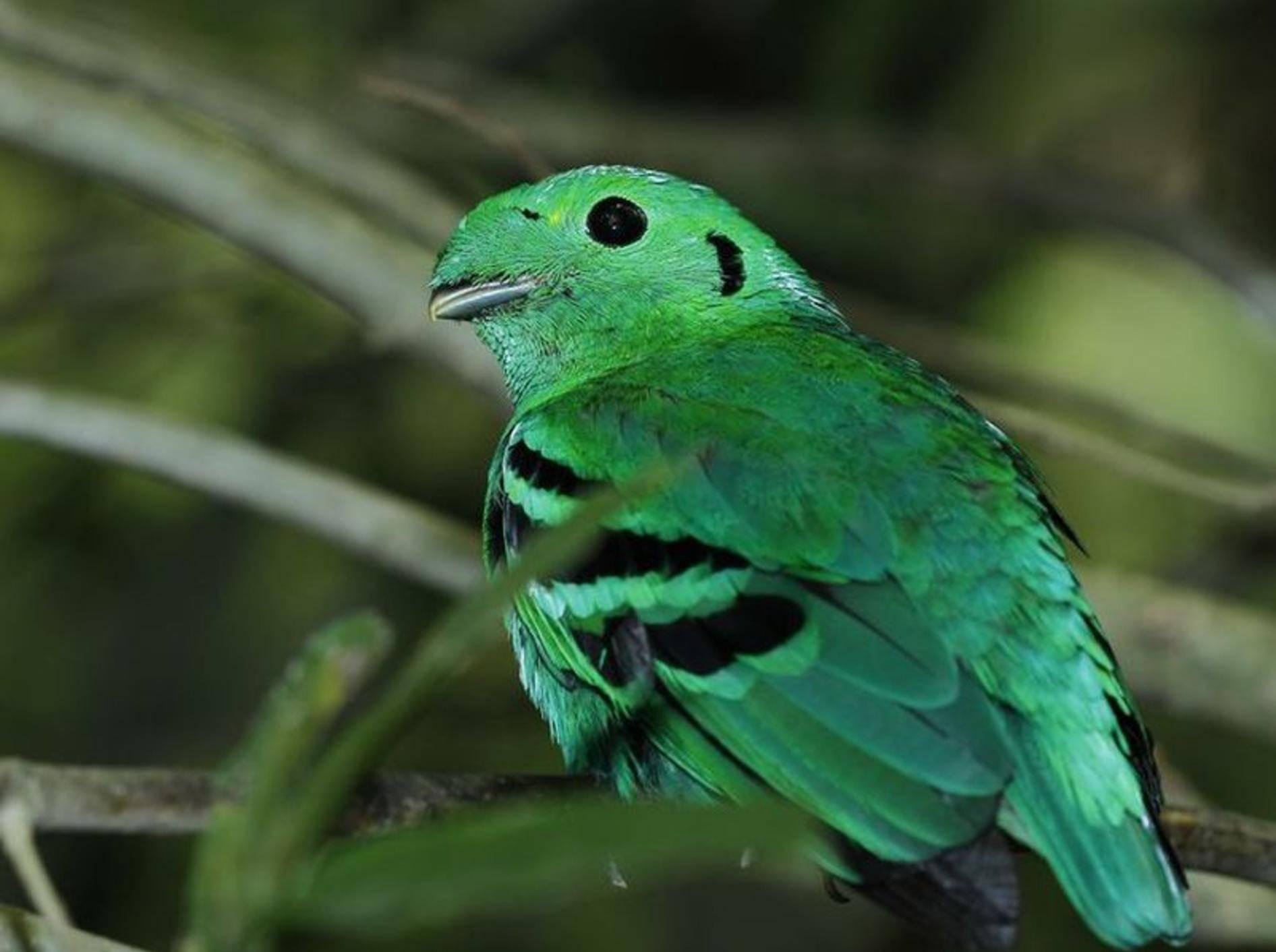 Toller Anblick: Grünkardinal Vogel mit extravagantem Look