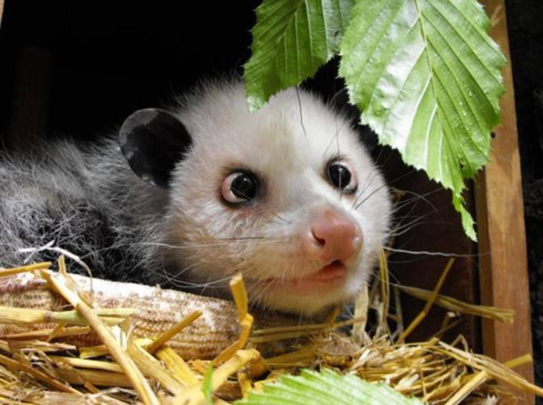 Heidi schielendes Opossum
