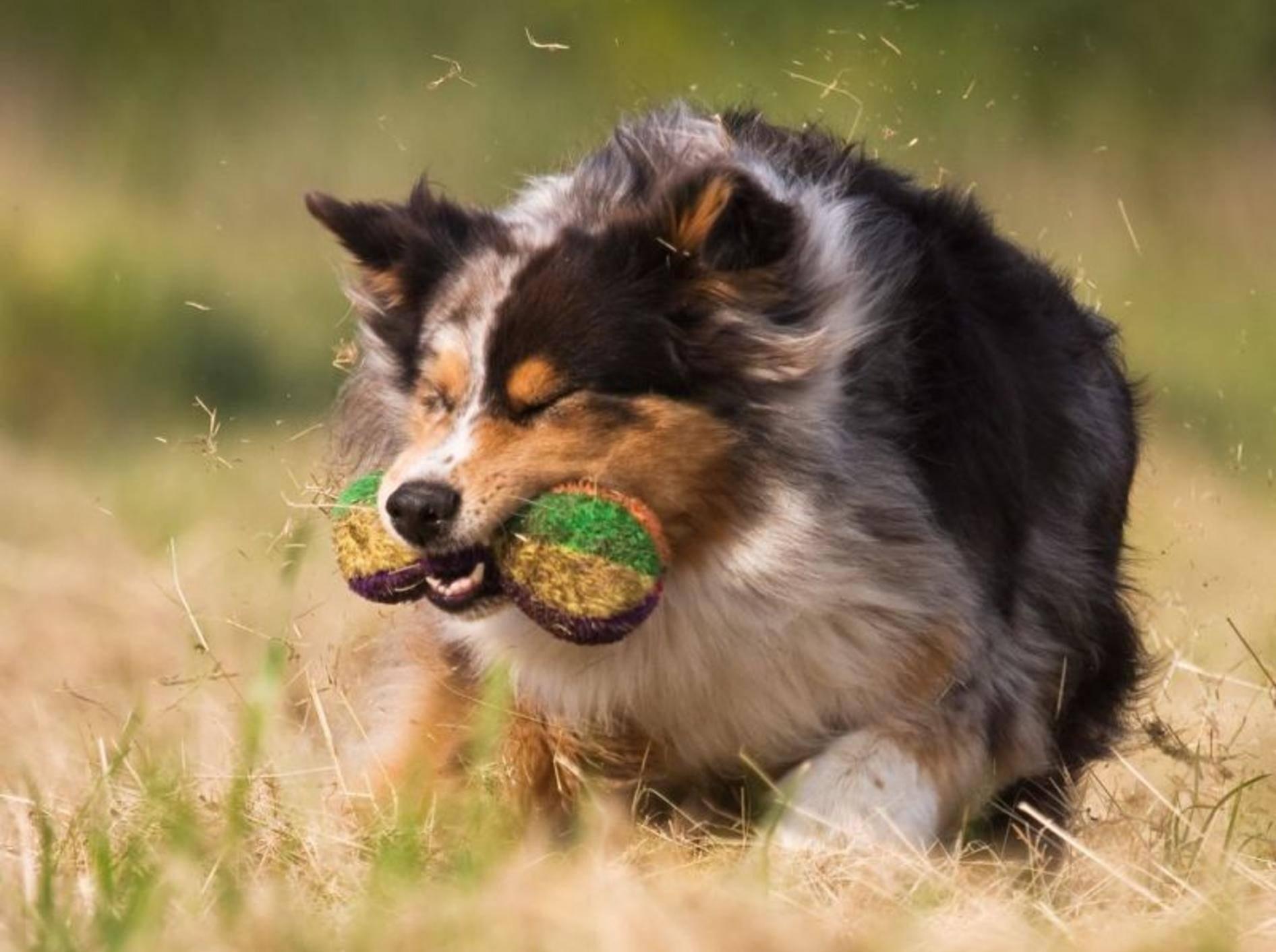 Eine der Lieblingsbeschäftigungen des Australian-Sheperd-Hundes: Toben!