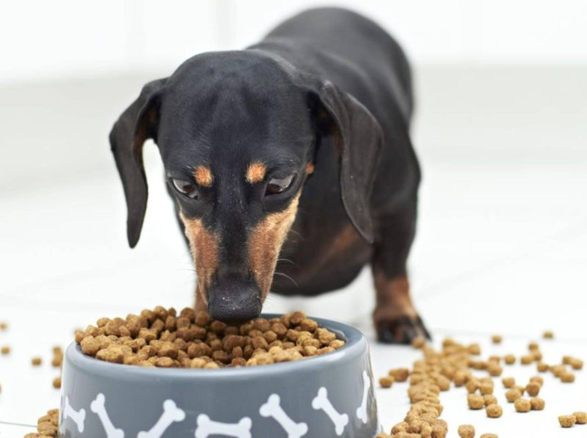 Dackel Hund frisst Trockenfutter