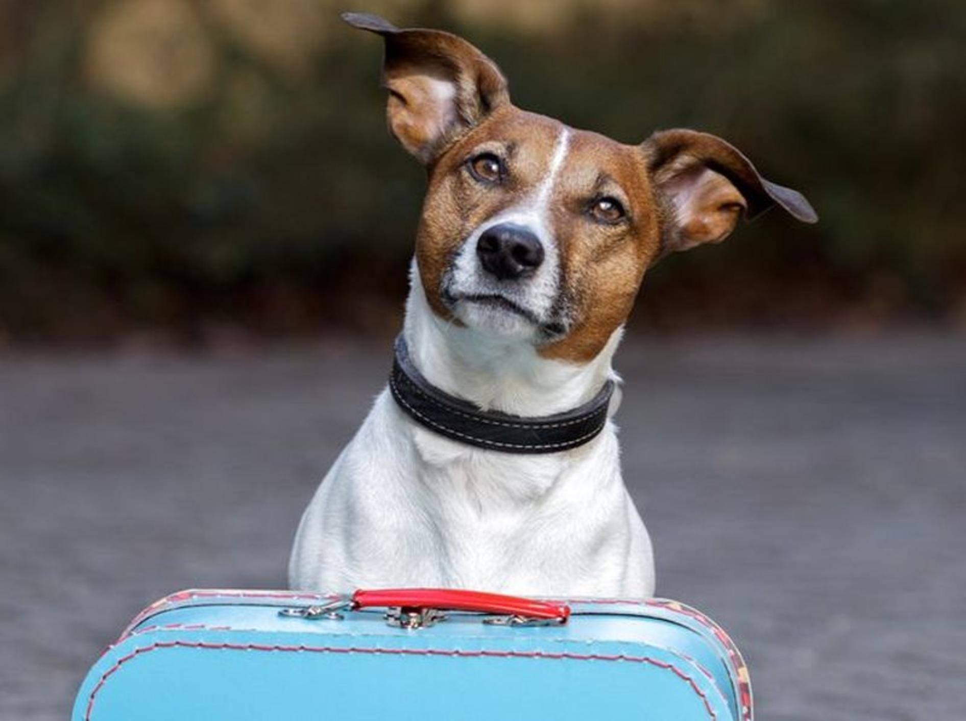 Jack Russell Terrier auf Reisen.