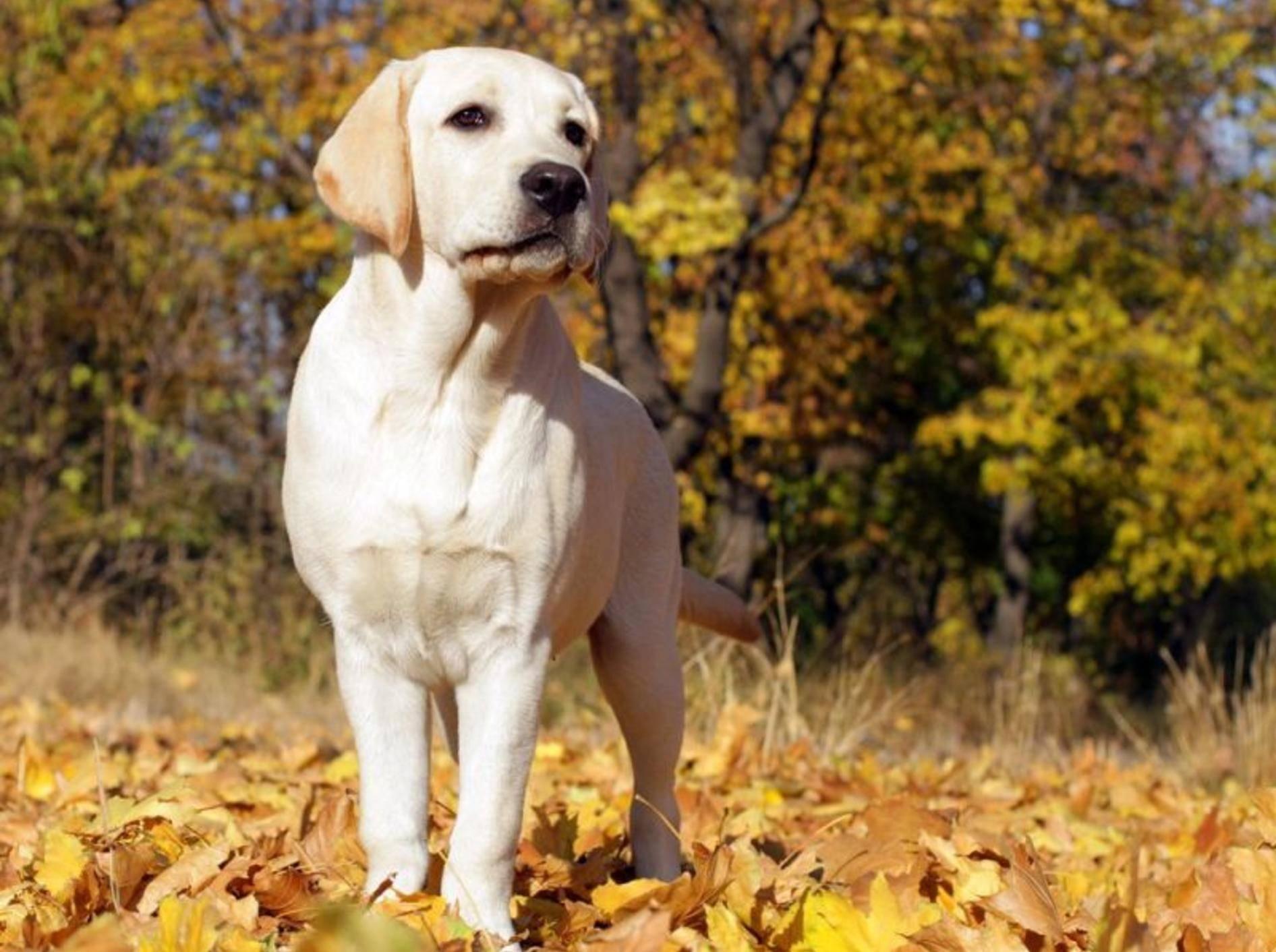 Labrador Hund im Herbst