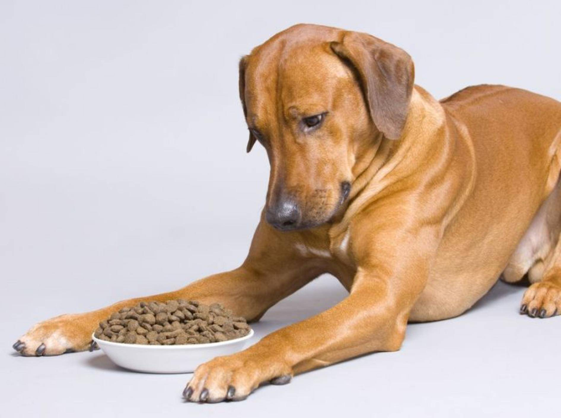 Rhodesian Ridgeback Hund mit Trockenfutter