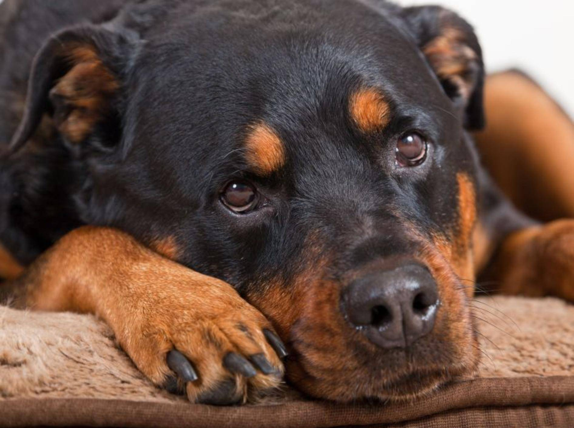 Trauriger Rottweiler Hund
