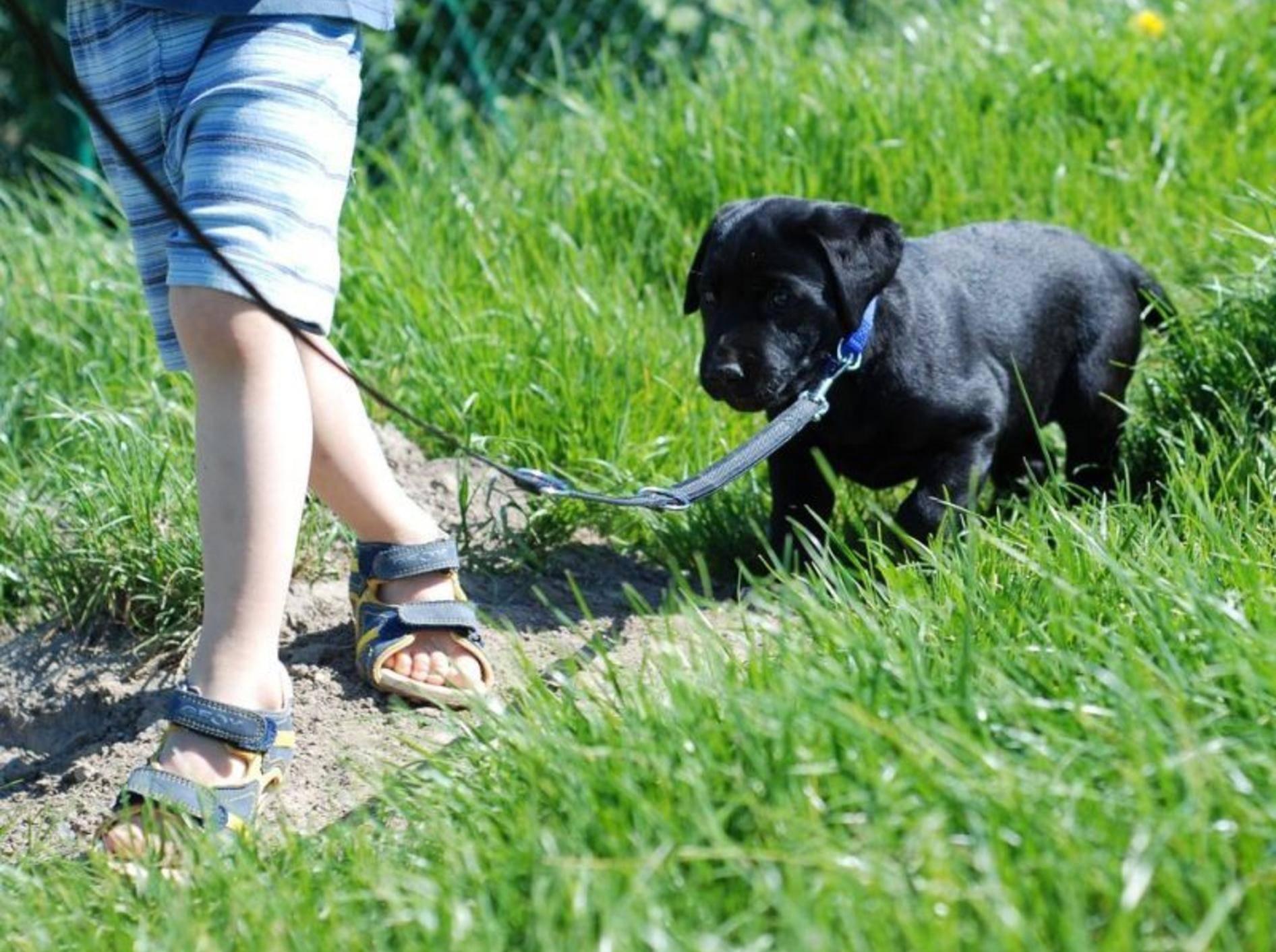Schwarzer Junghund an der Leine