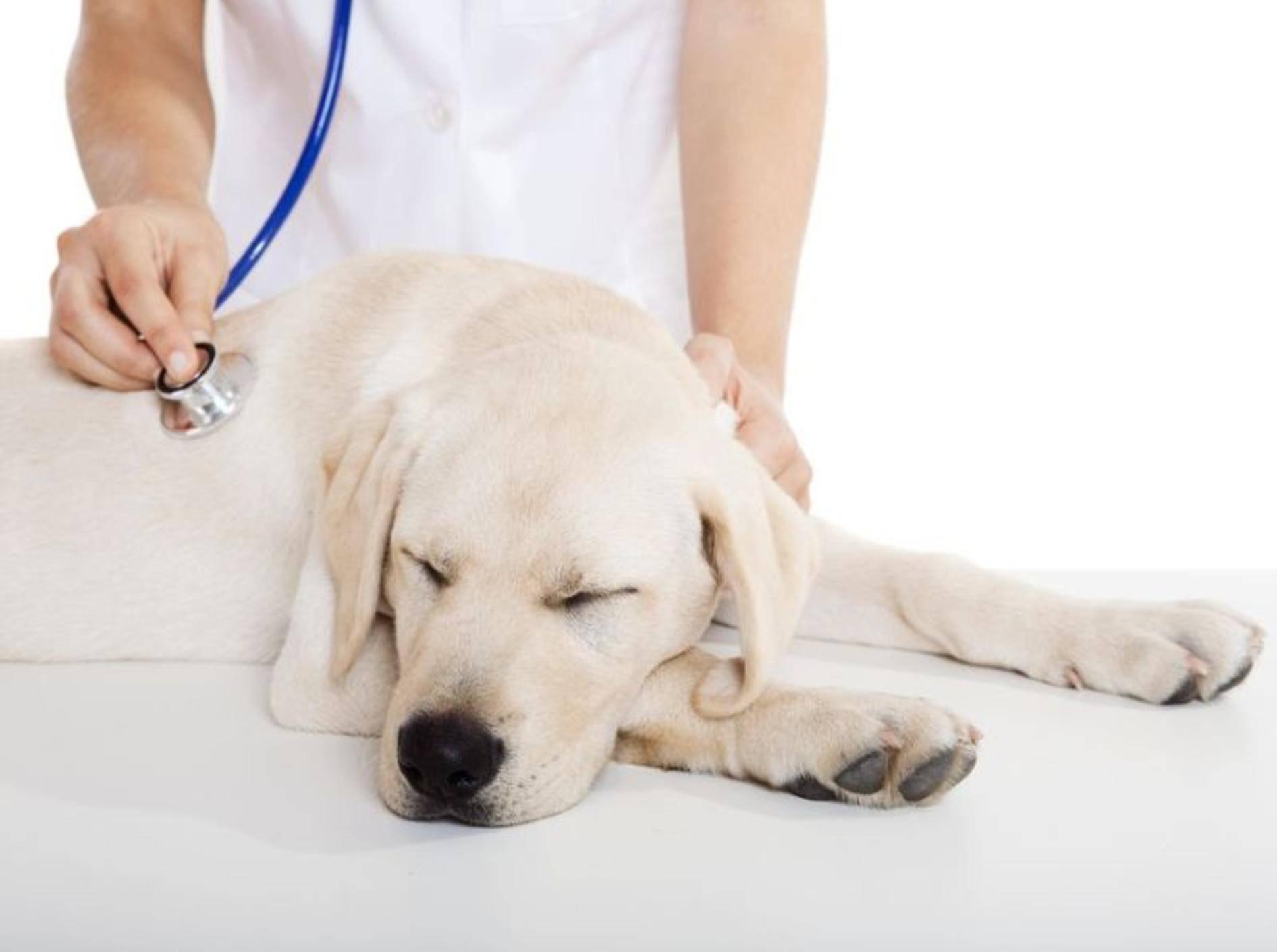 Bei andauerndem oder schlimmer werdendem Durchfall, sollte Ihr Vierbeiner von einem Tierarzt untersucht werden – Shutterstock / iko