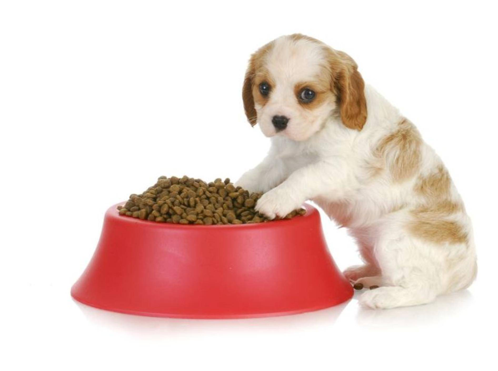 Welpen müssen für eine gesunde Entwicklung richtig gefüttert werden – Shutterstock / WilleeCole
