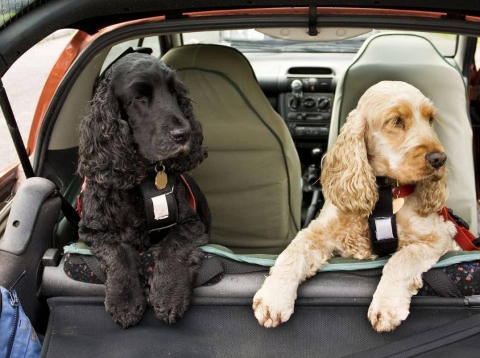 Cocker Spaniel Hunde im Kofferraum