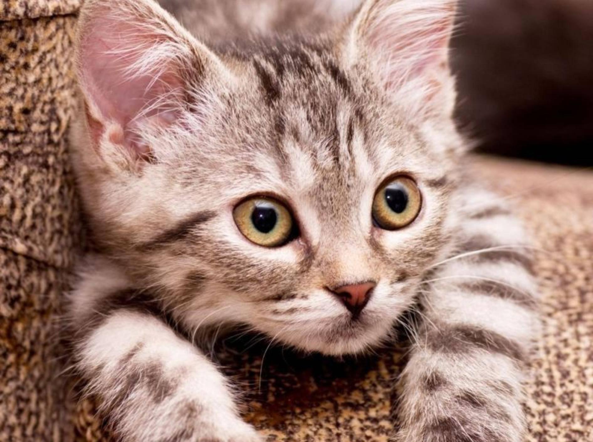 Junge getigerte Katze guckt