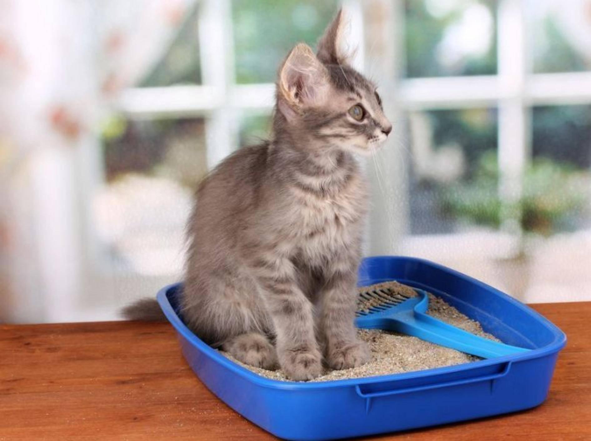 Junge graue Katze Katzenklo