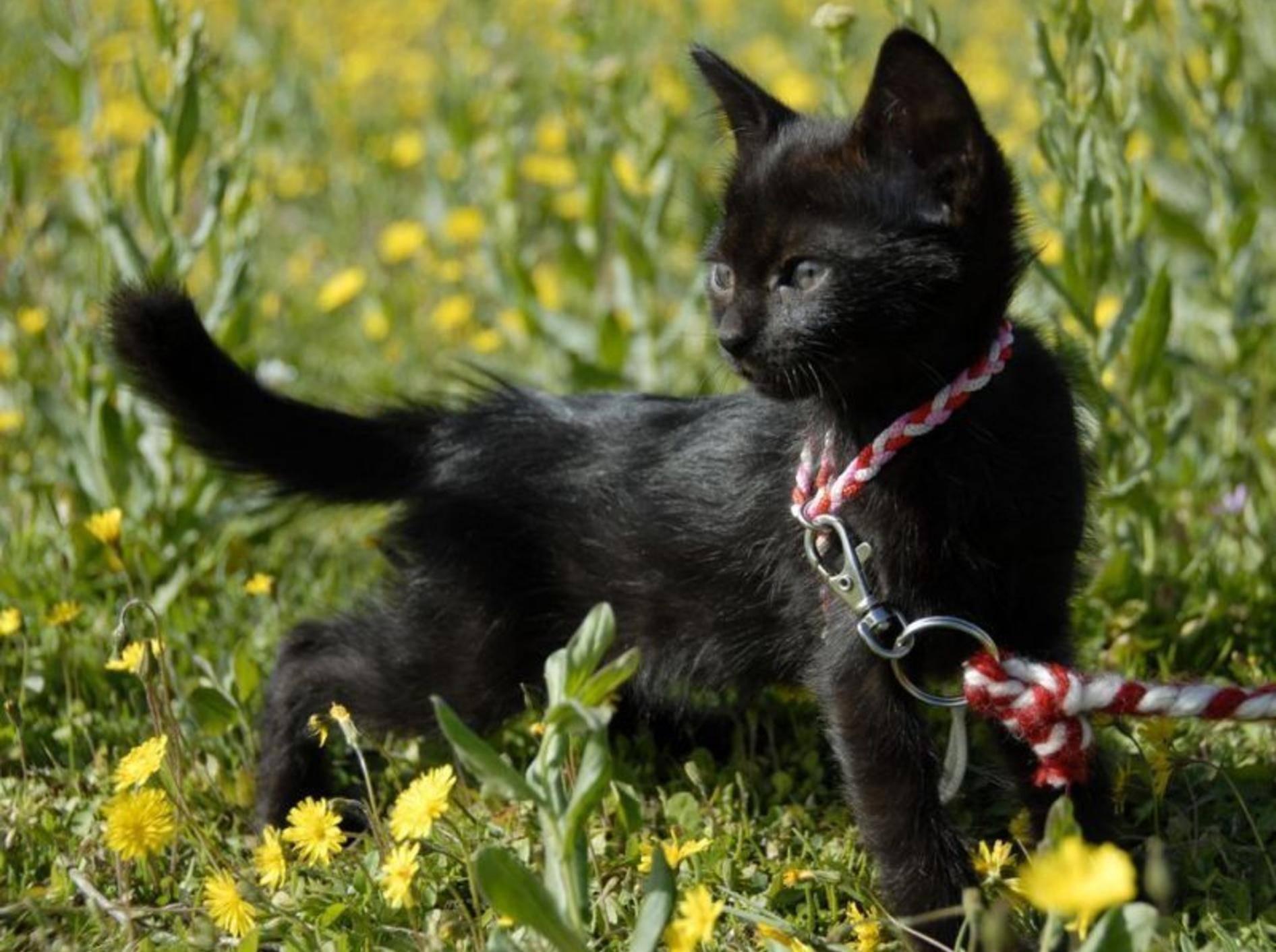 Junge schwarze Katze an der Leine auf der Wiese