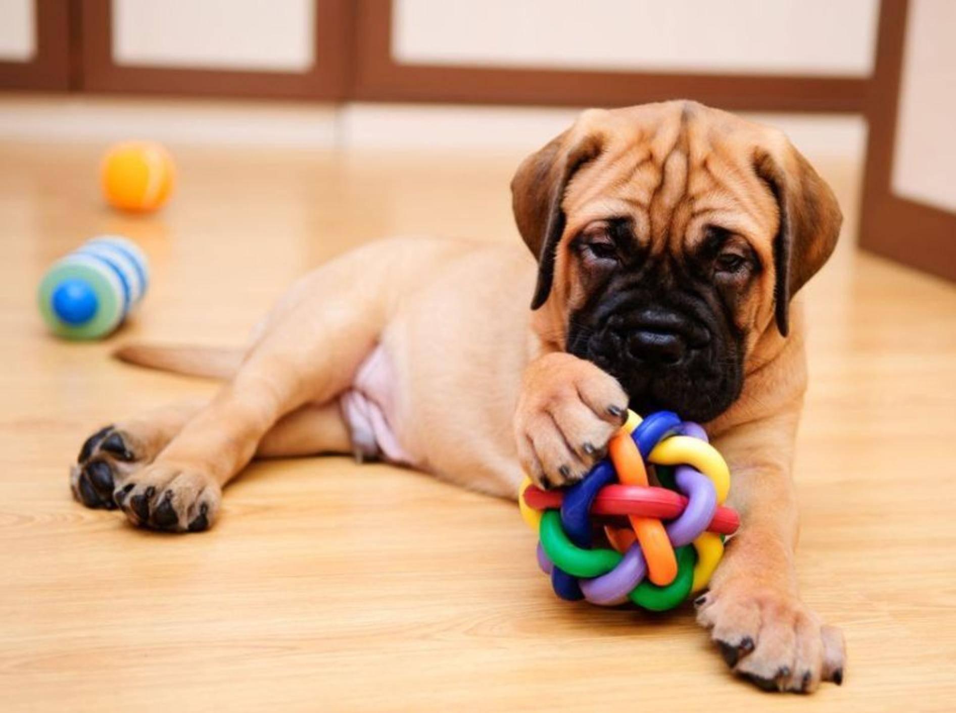 Junger Hund mit Spielzeug