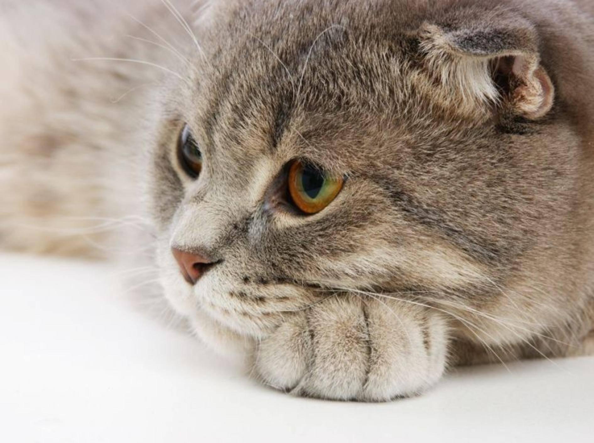 Britisch-Kurzhaar-Katze.