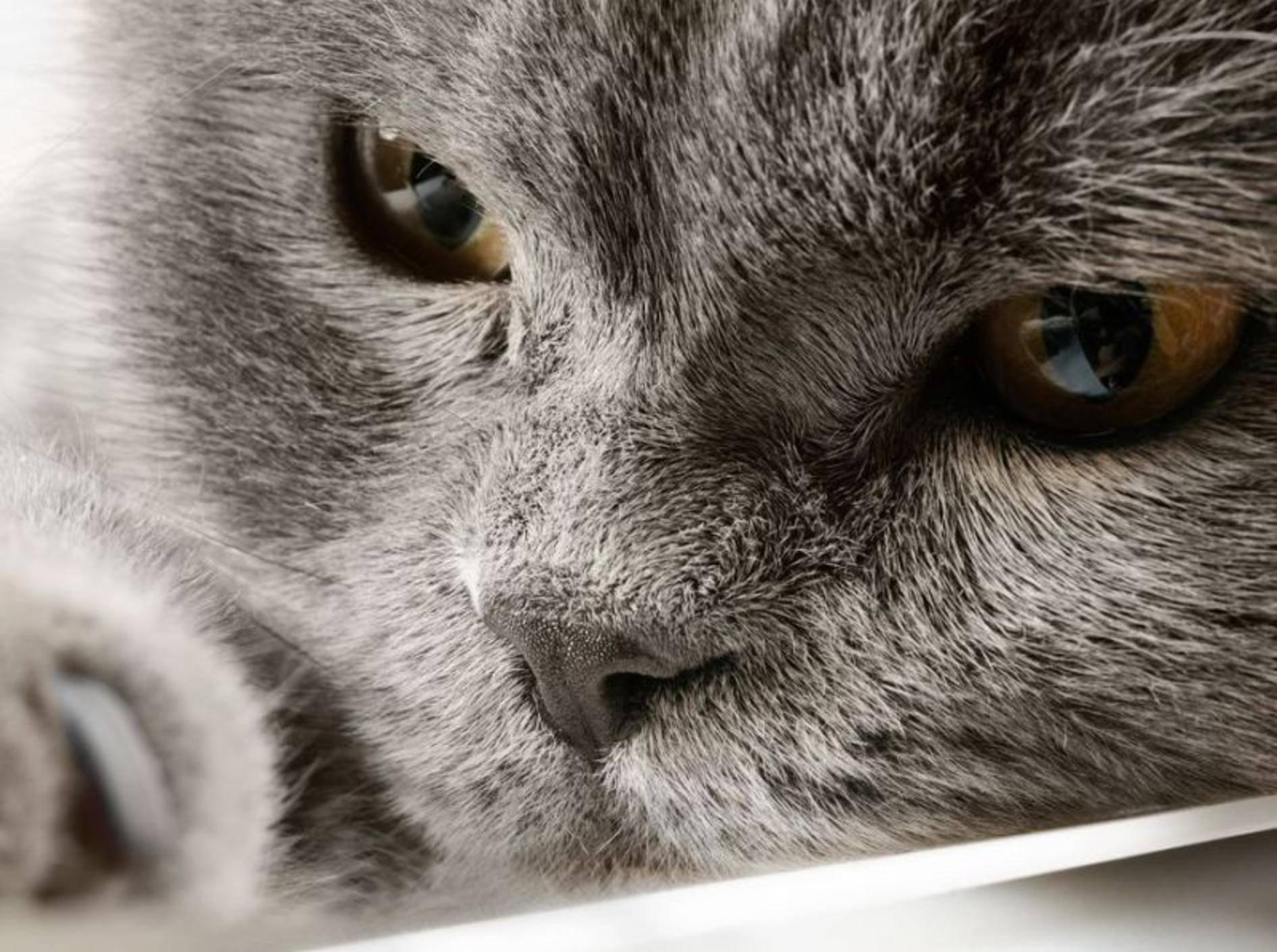 Britisch Kurzhaar Katze in Nahaufnahme