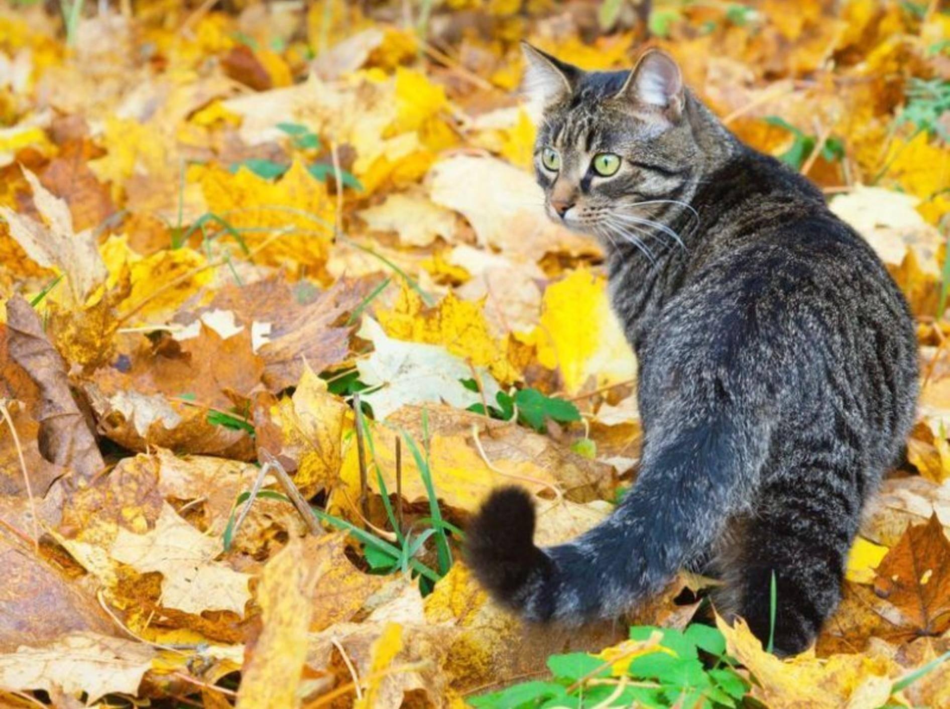 Getigerte Katze im Herbst