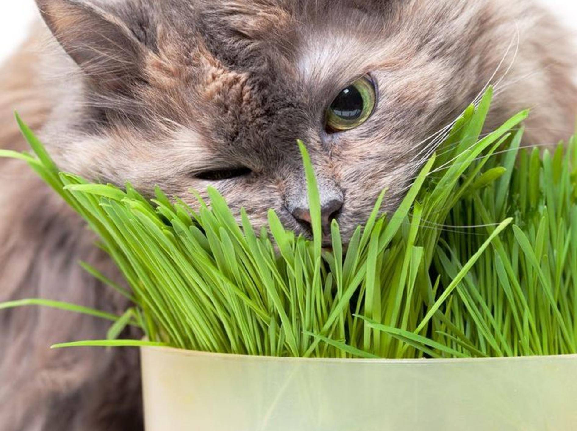 """""""Mmmh, lecker!"""": Diese Katze lässt sich das Katzengras schmecken – Bild: Shutterstock / Discovod"""