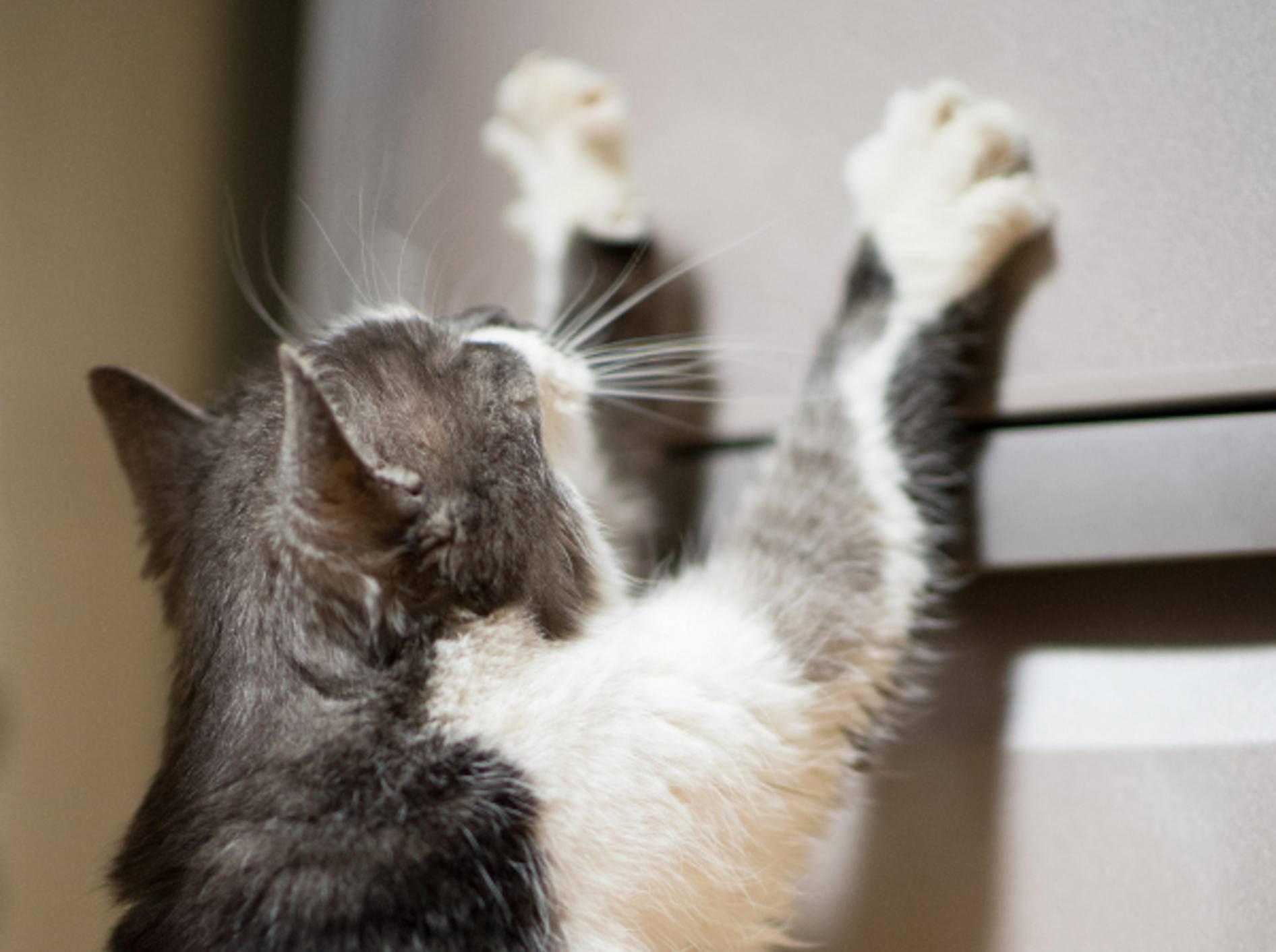 """Diese Katze betet und miaut: """"Kühlschrank, bitte öffne dich!"""""""