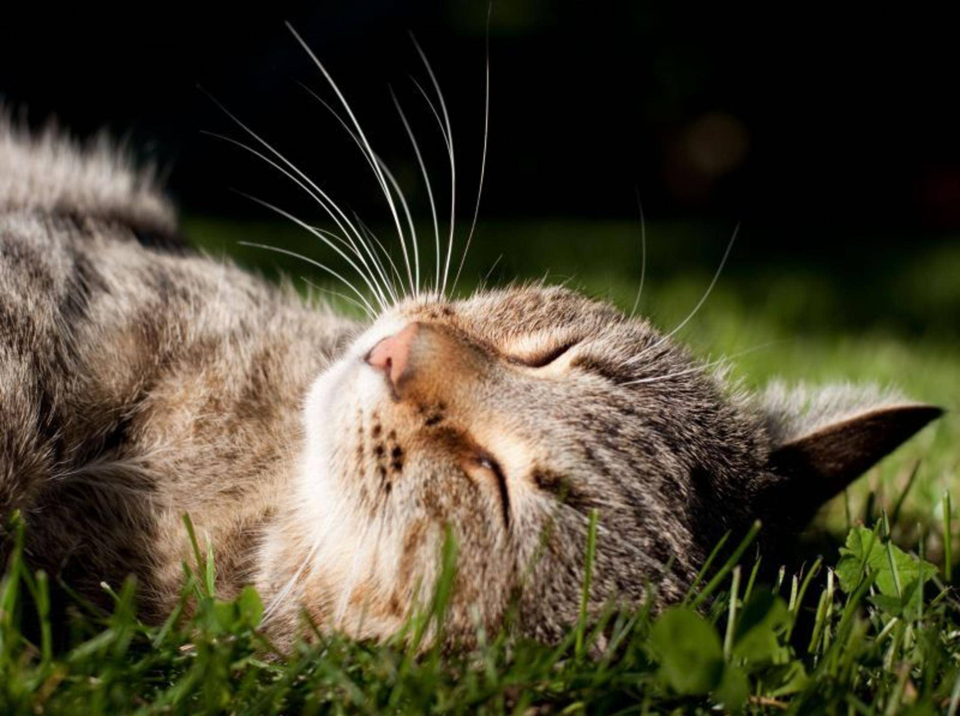 Katze-Schlaeft-Wiese-Hauskatze