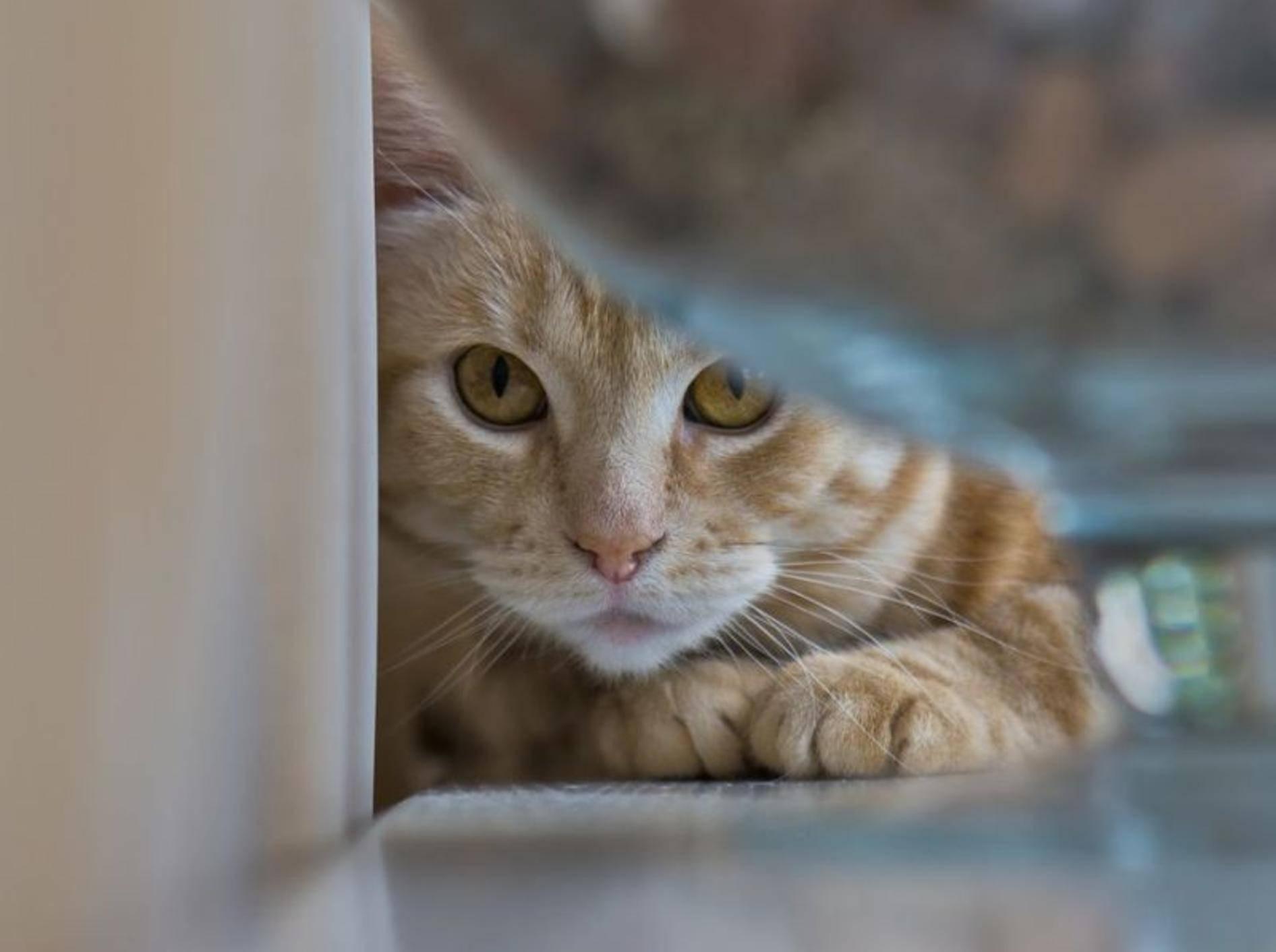 Rote Katze versteckt sich
