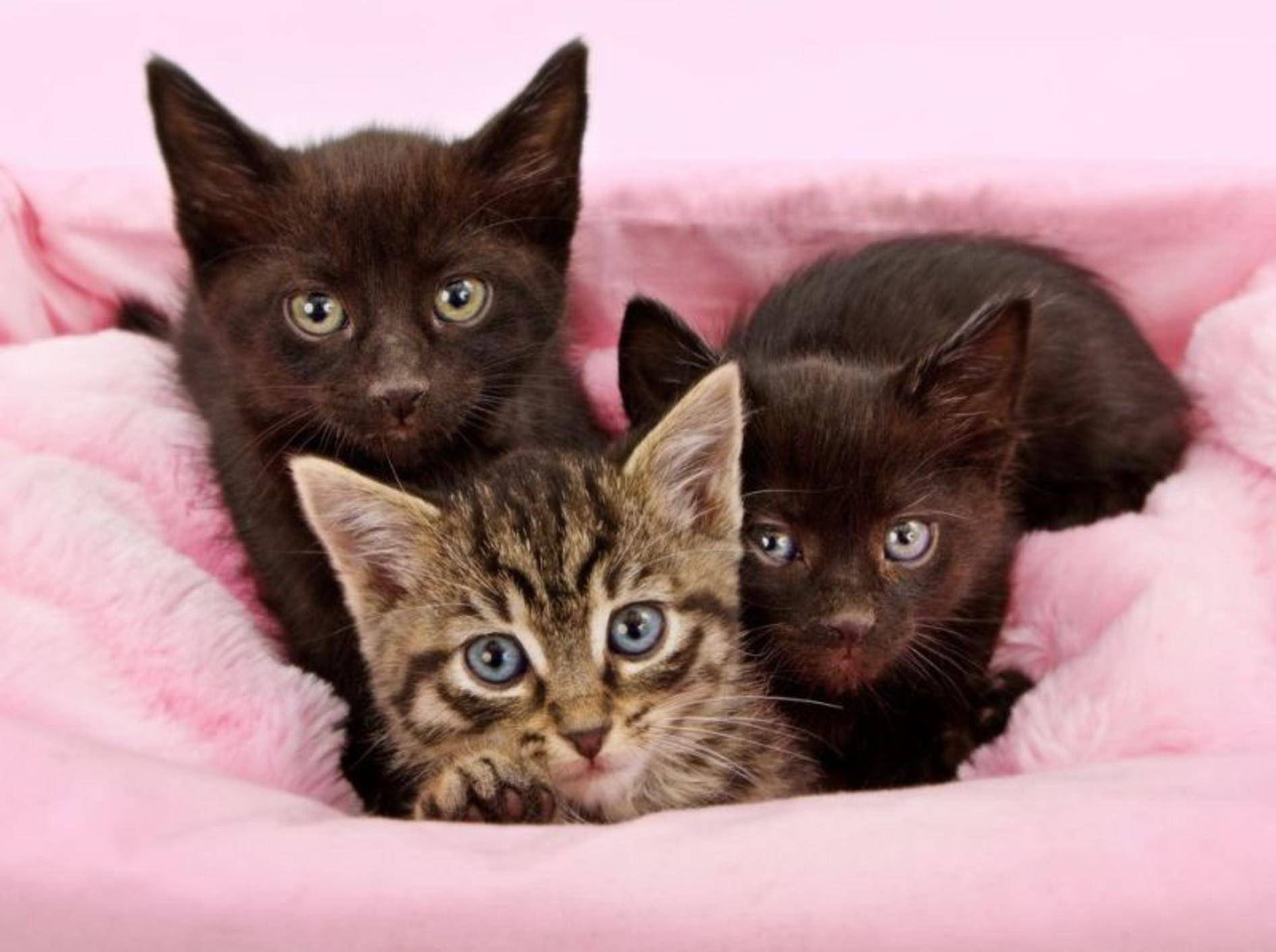 Katzenbabys auf rosa Decke