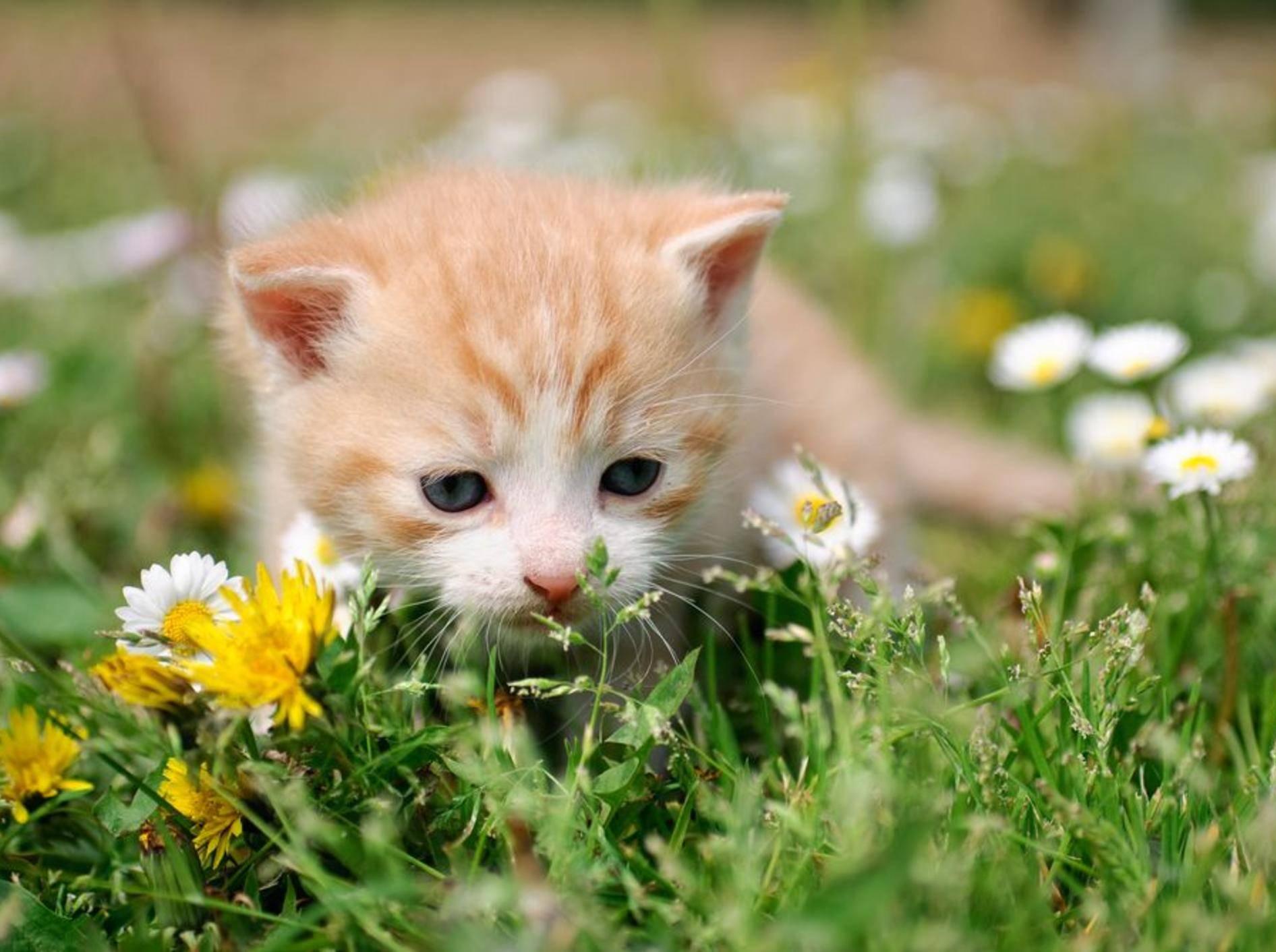 Rotes Katzenbaby auf der Blumenwiese - Bild: Shutterstock / Anettphoto