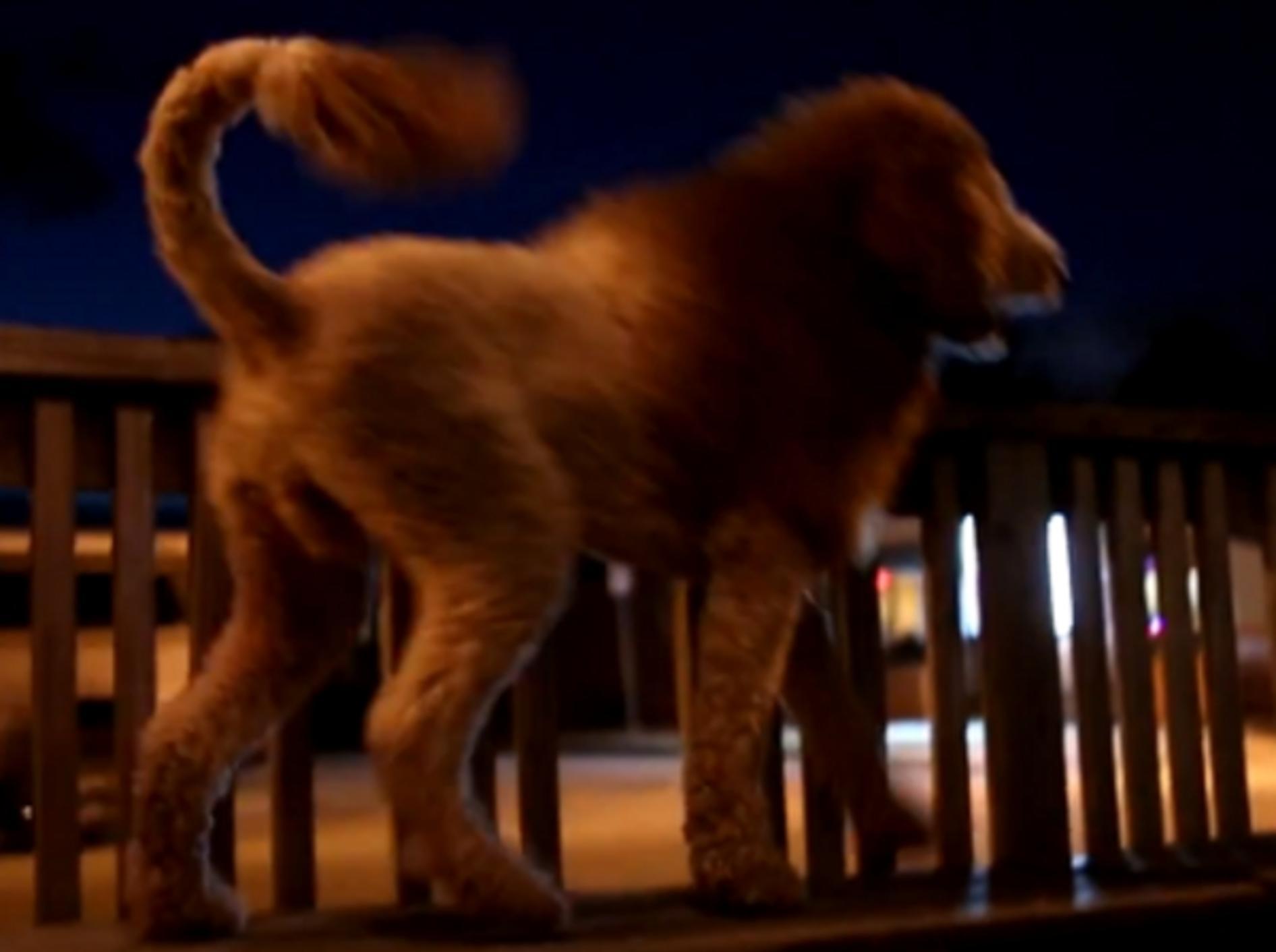 Hund löst Panik aus: Dieser Labradoodle sieht wie ein Löwe aus