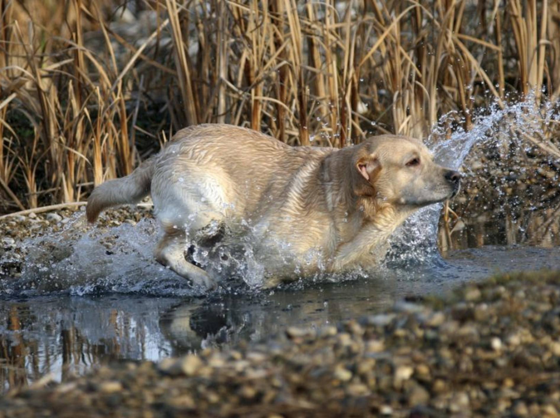 Labrador-Retriever-Hund-Wasser-Spielen
