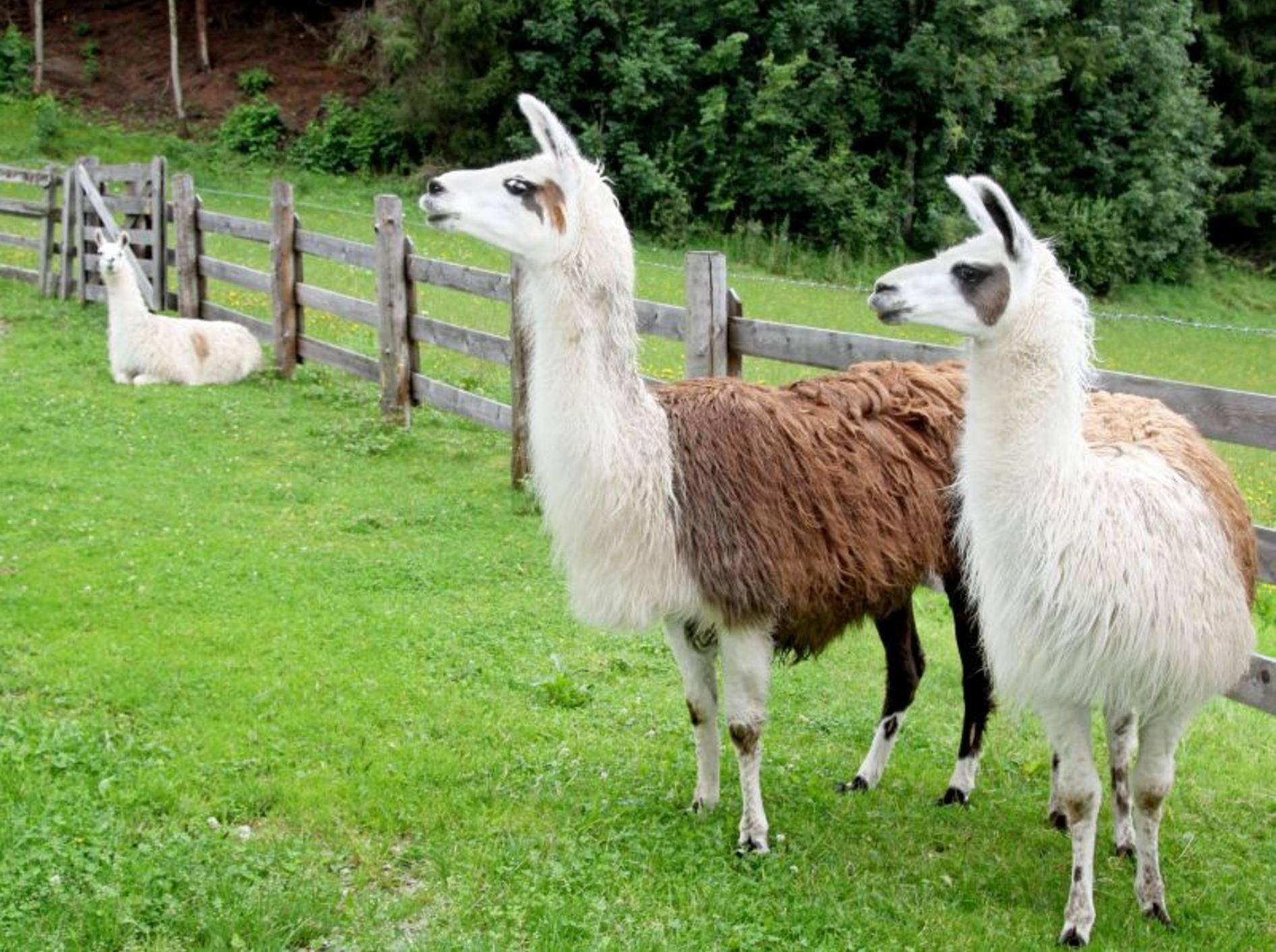 Lamas auf der Wiese