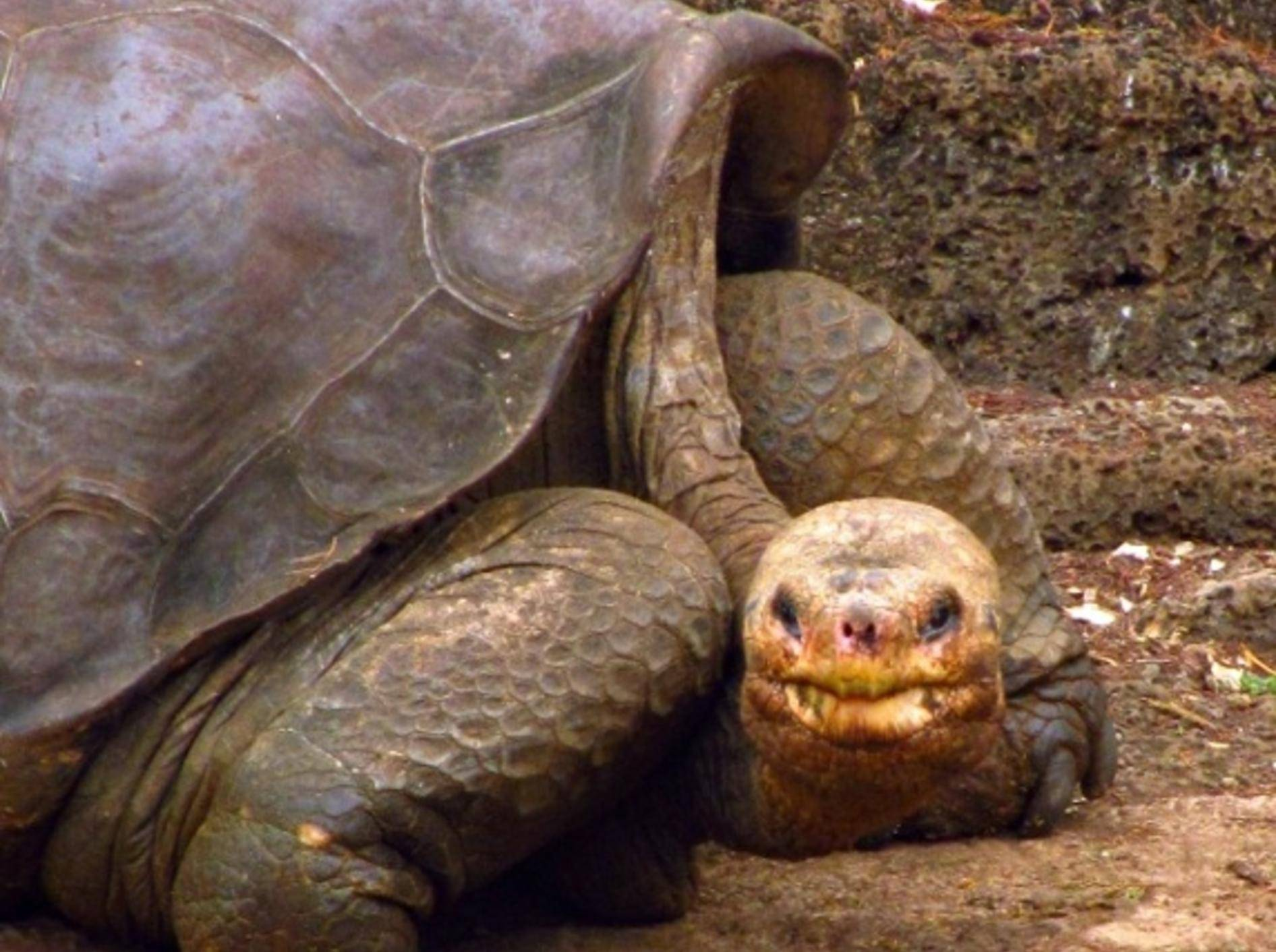 Riesenschildkröte Lonesome George war nicht die letzte ihrer Art
