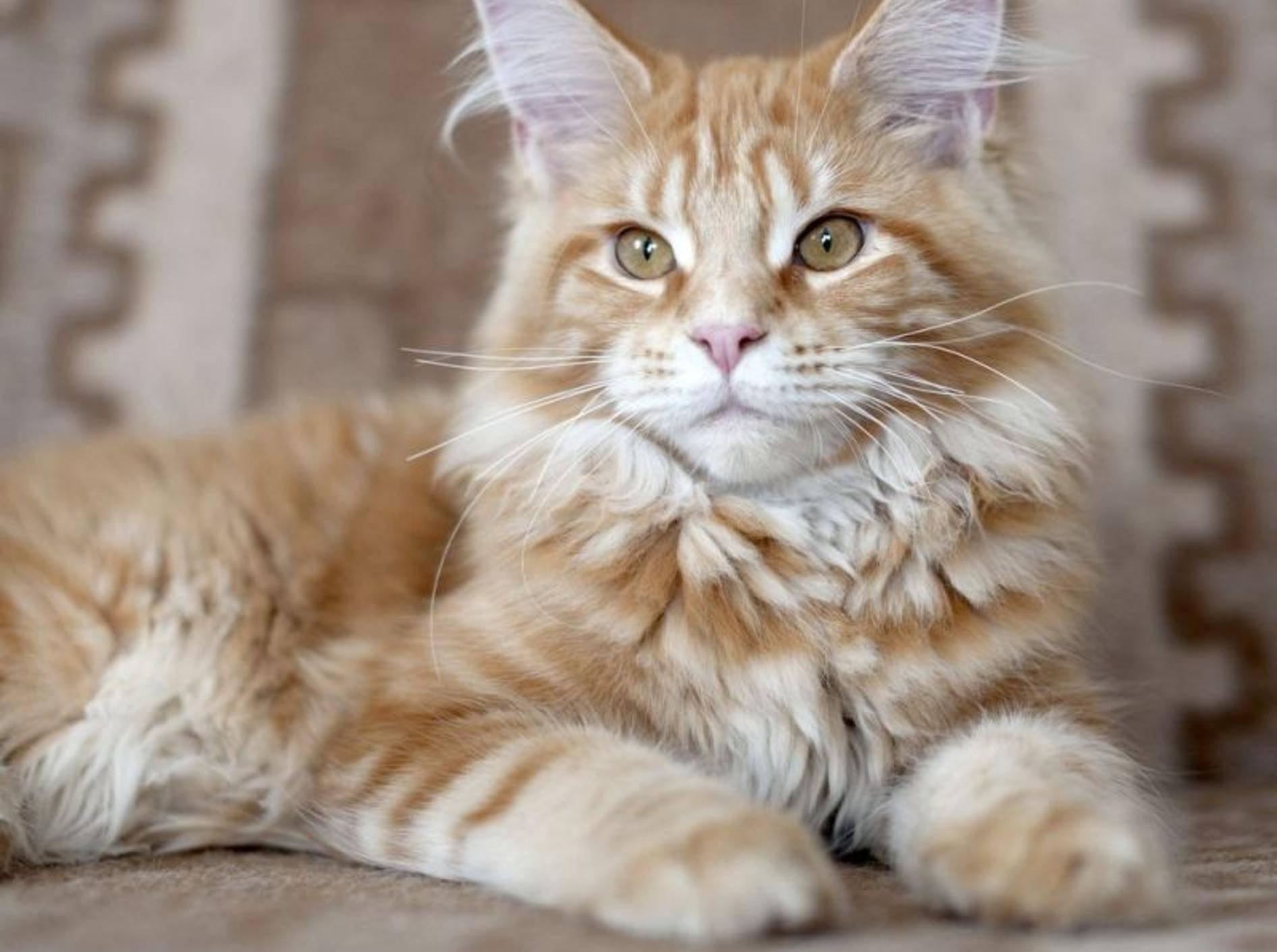 Maine-Coon, mit bis zu 40 cm Schulterhöhe und 120 cm Maximallänge die größte Katze der Welt.
