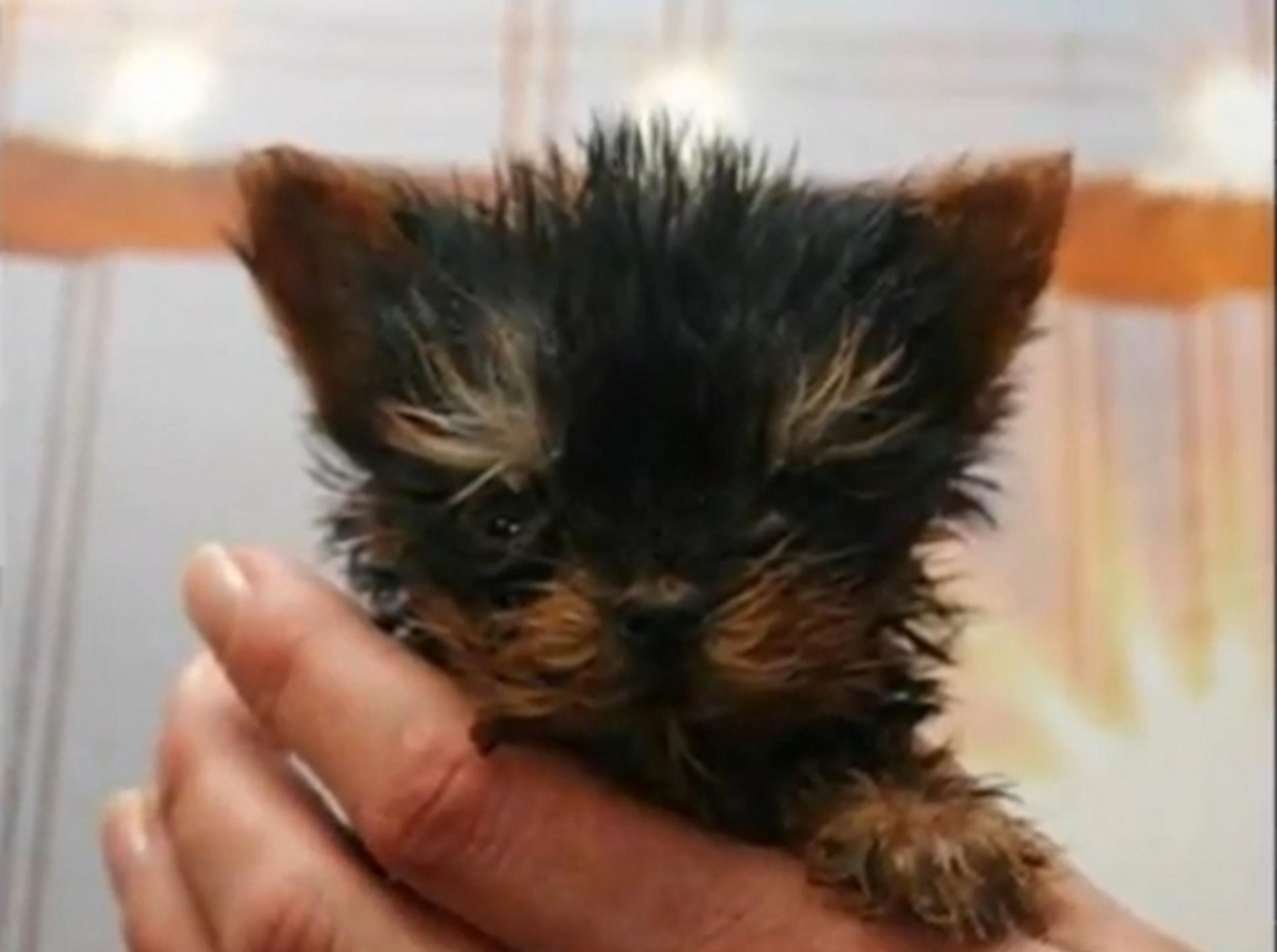 Ist Meysi der kleinste Hund der Welt?