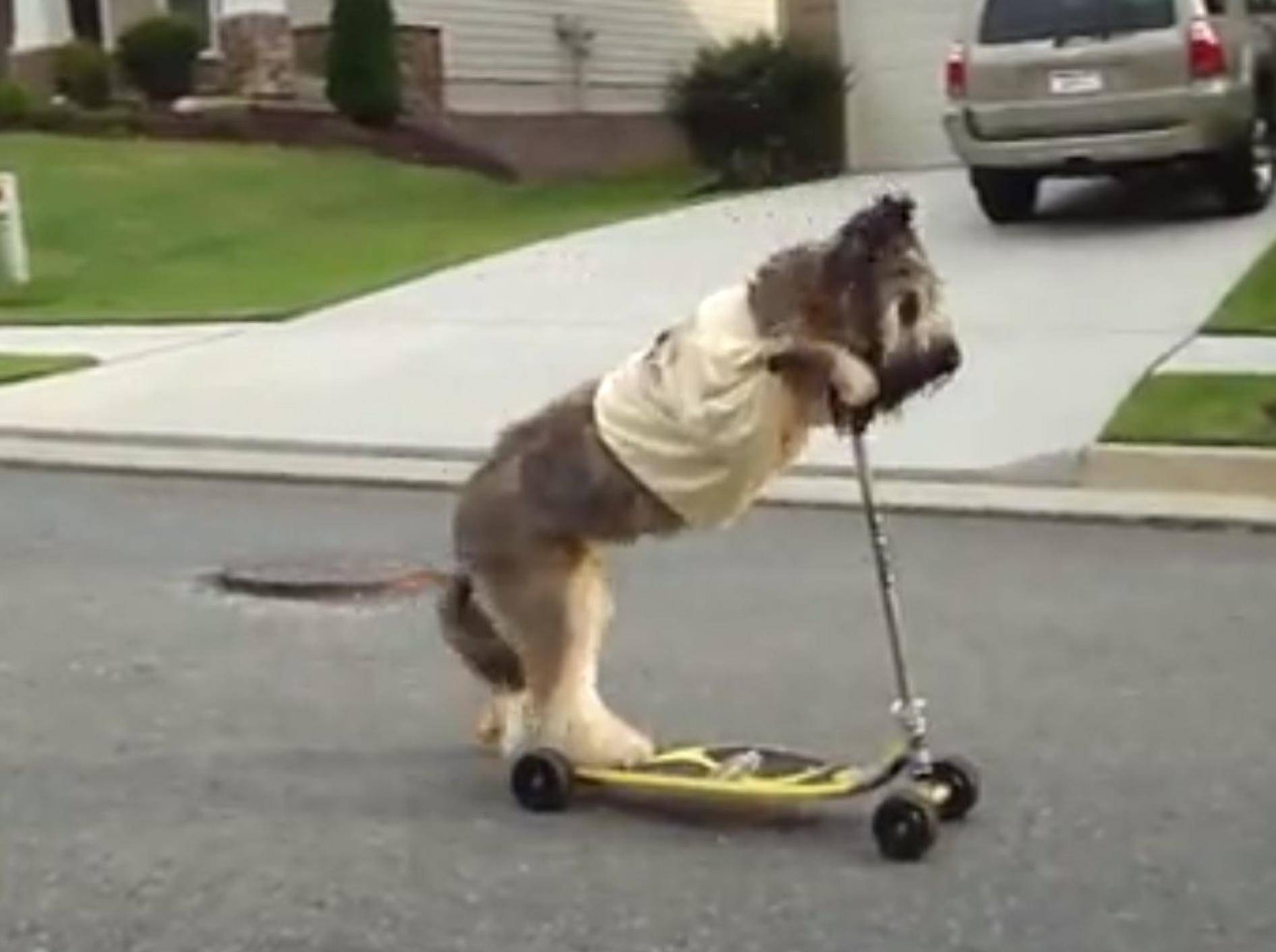 Norman-Briard-Hund-Roller