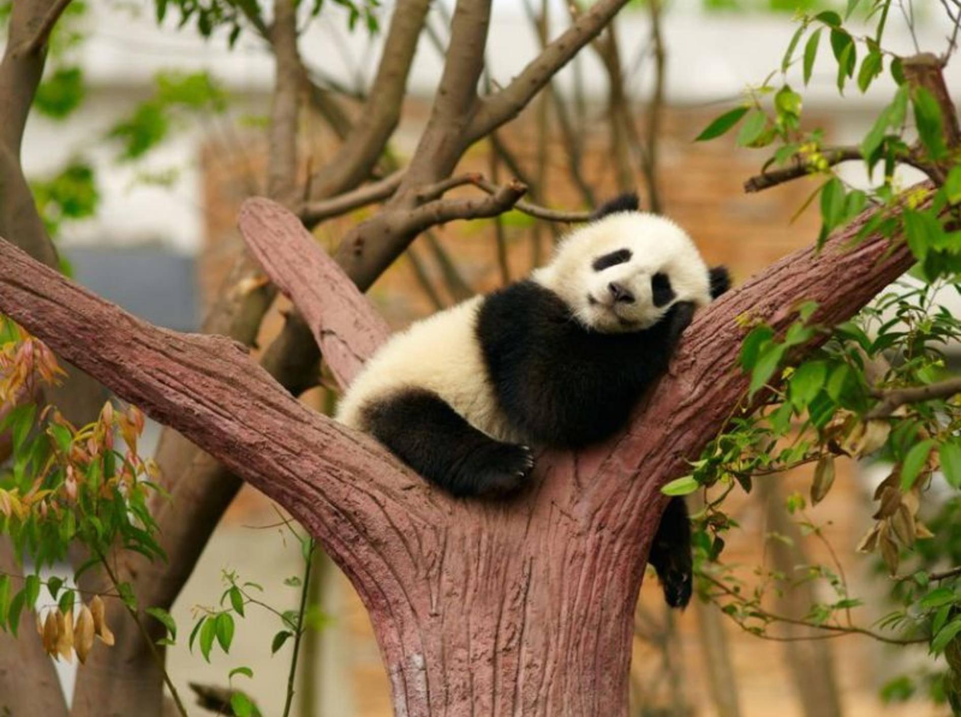 Panda-Baby-Schlafend-Baum