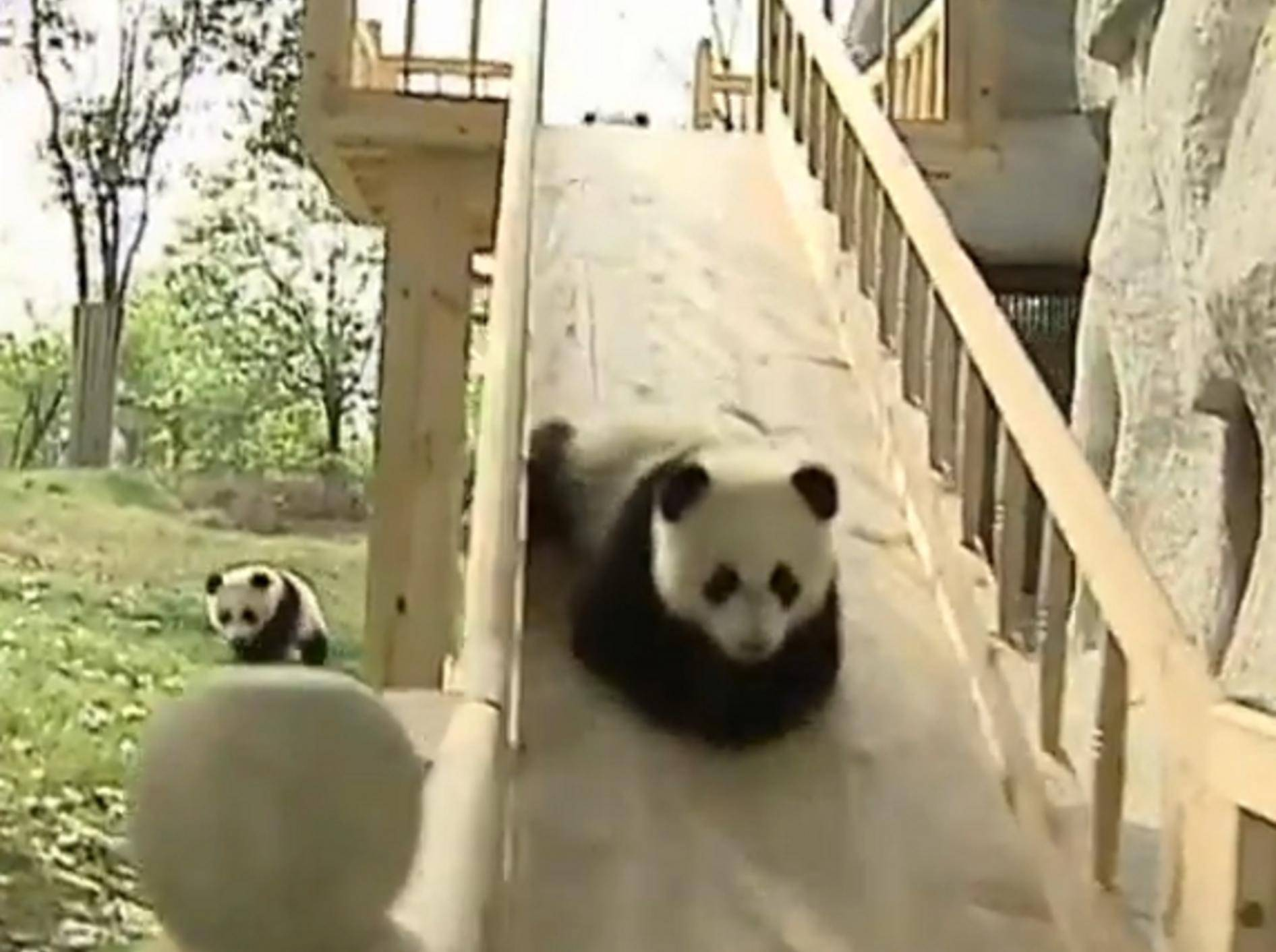 Pandababys lieben ihre Holzrutsche