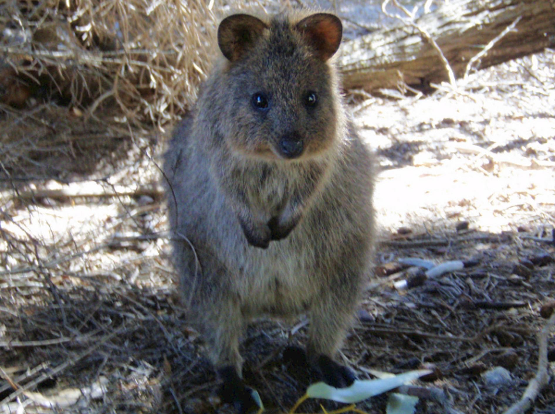 Quokka: Das Kurzschwanzkänguru sieht glücklich und zufrieden aus