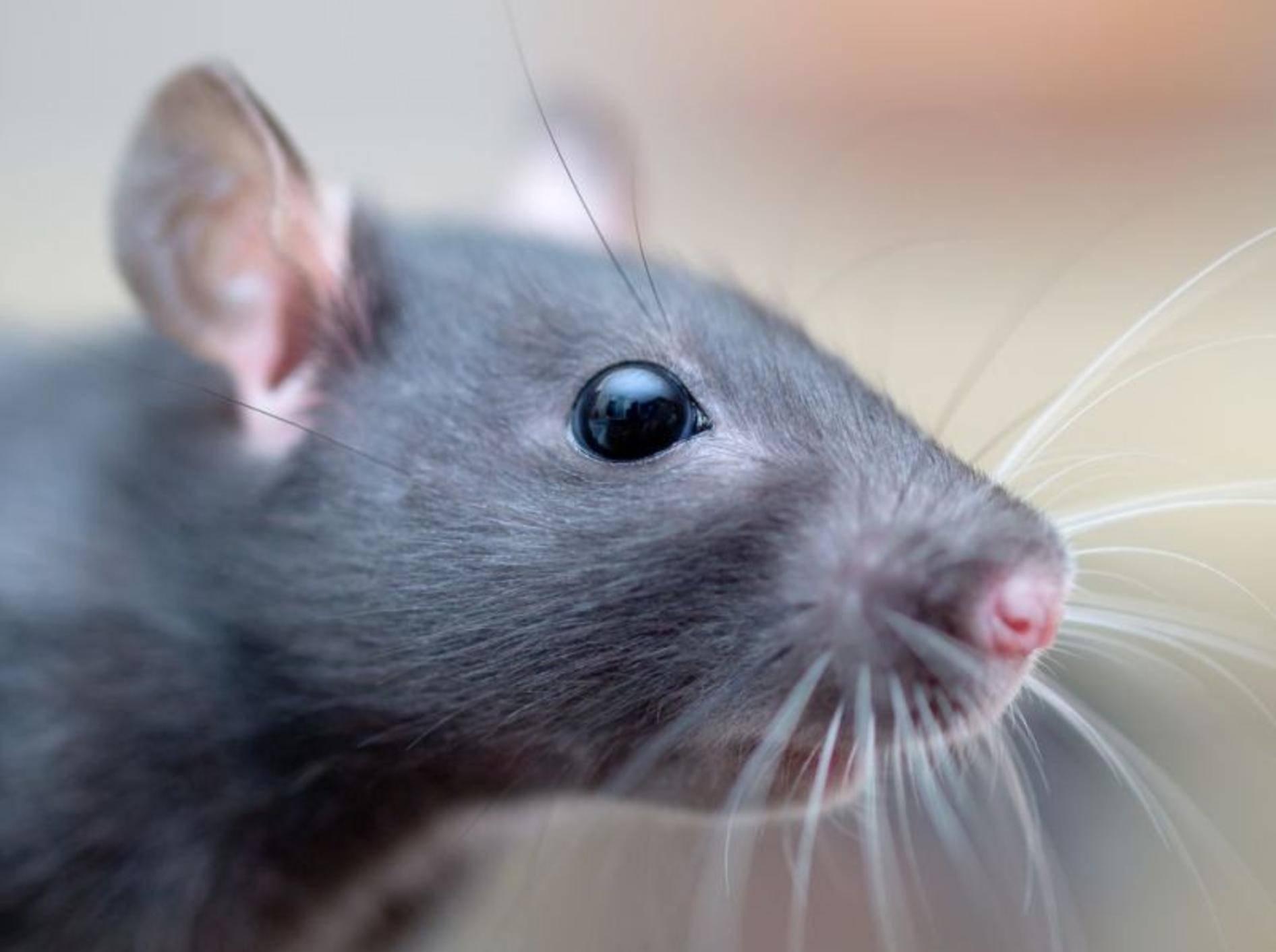 Ratte-Neuroparasiten