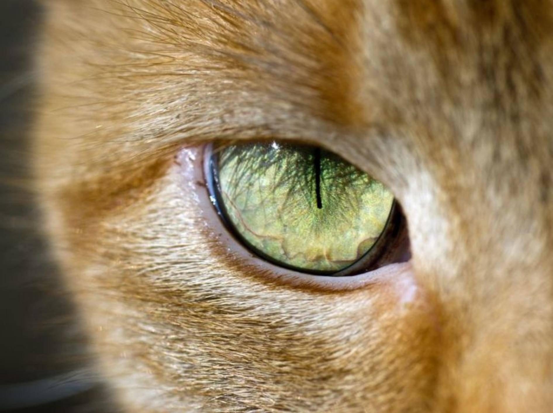 Die Augen einer Katze sind Hochleistungs-Organe, die Ihre regelmäßige Aufmerksamkeit verdienen – Bild: Shutterstock / BHamms
