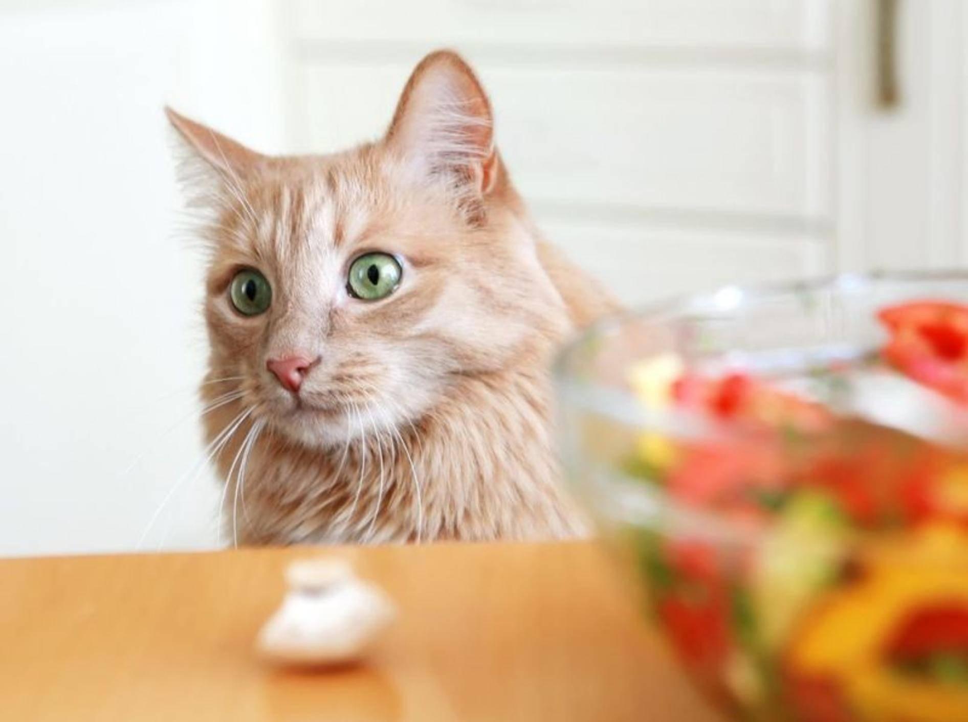 Rote Katze Gemüse