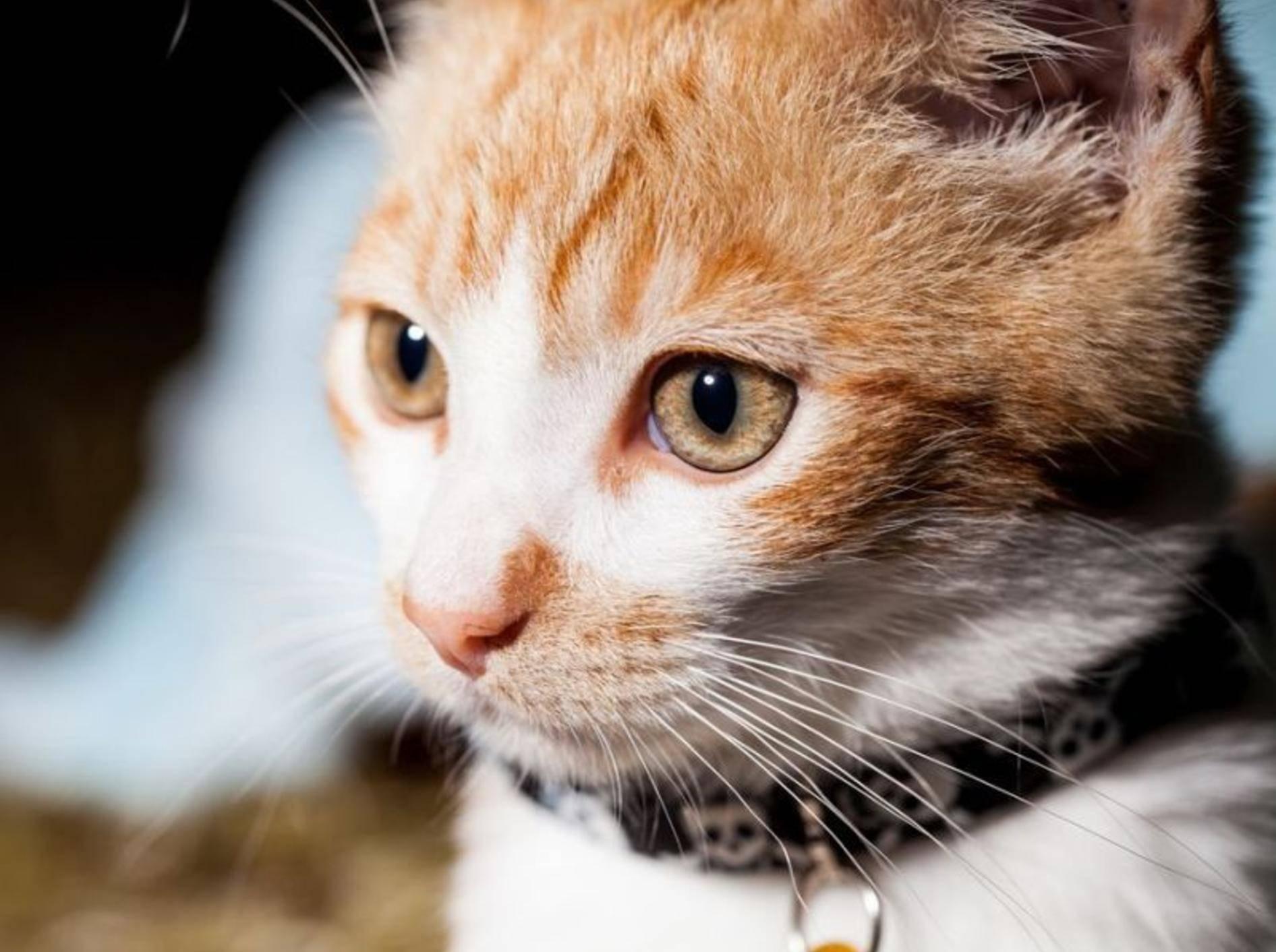 Ein Katzenhalsband kann gefährlich werden und Ihrer Katze schaden – Shutterstock / Sydneymills