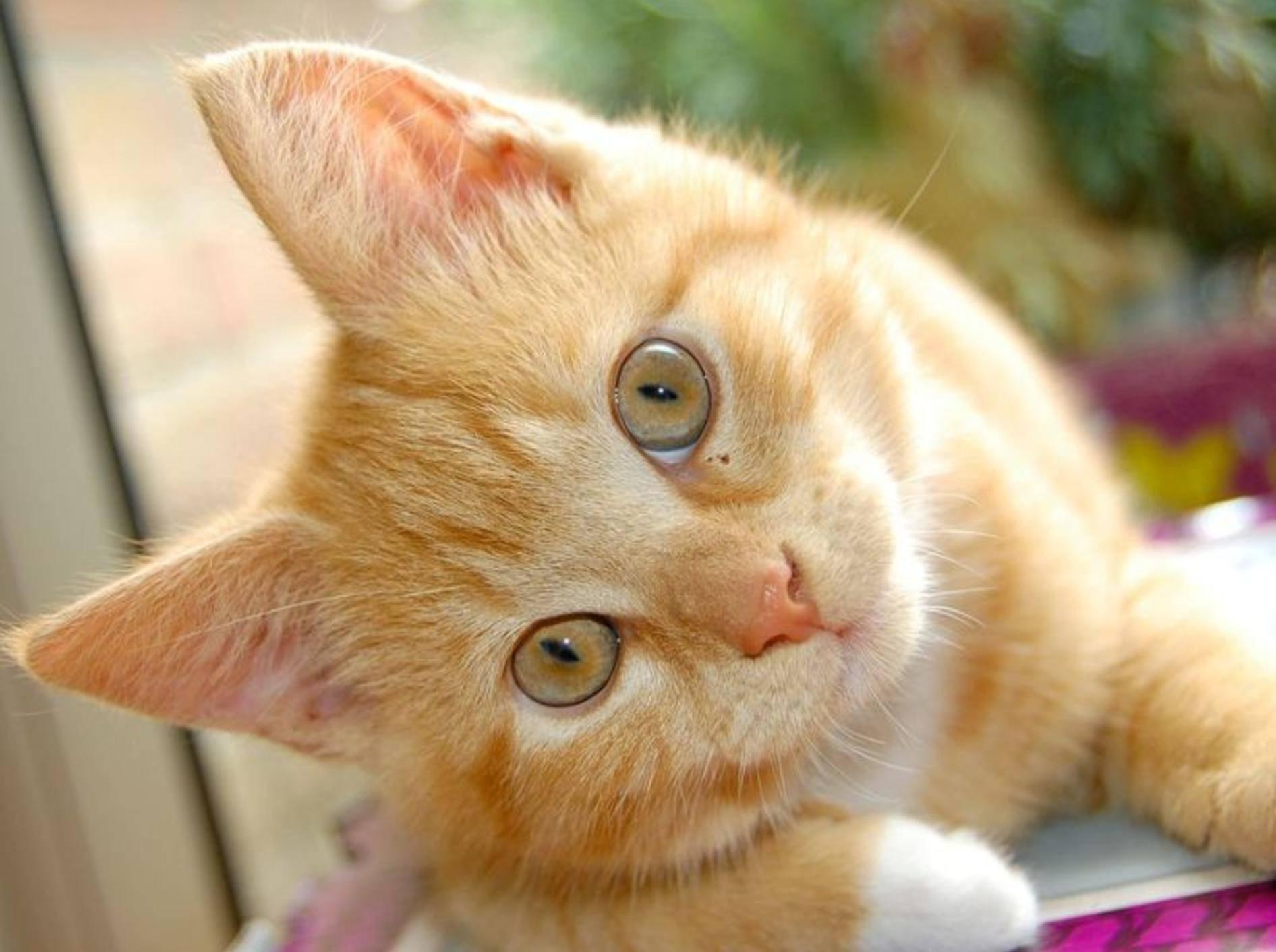 Wer die Körpersprache der Ohren seiner Katze deuten kann, beugt so manchem Missverständnis vor – Bild: Shutterstock / Yutilova Elena