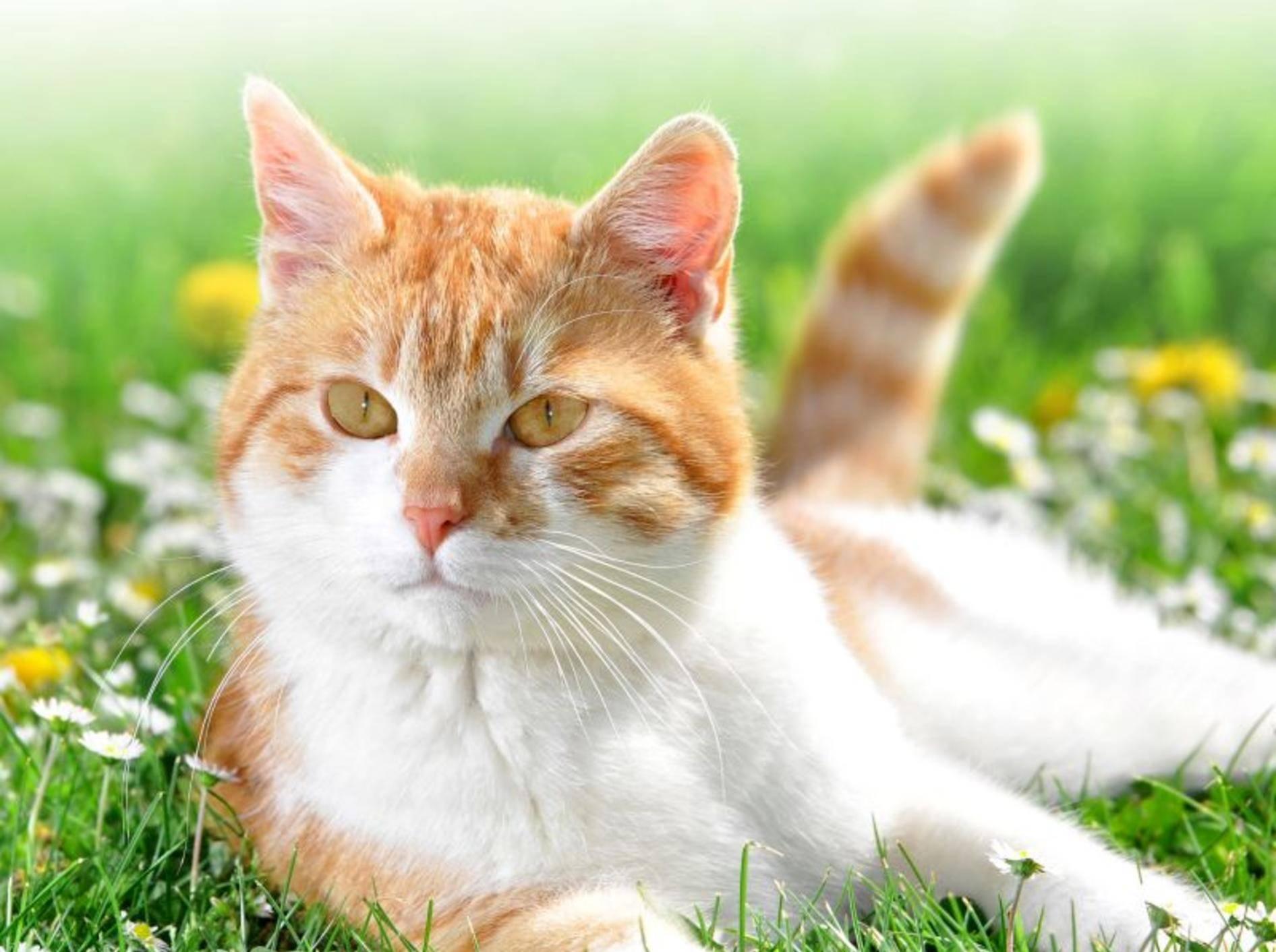 Rote Katze auf der Wiese