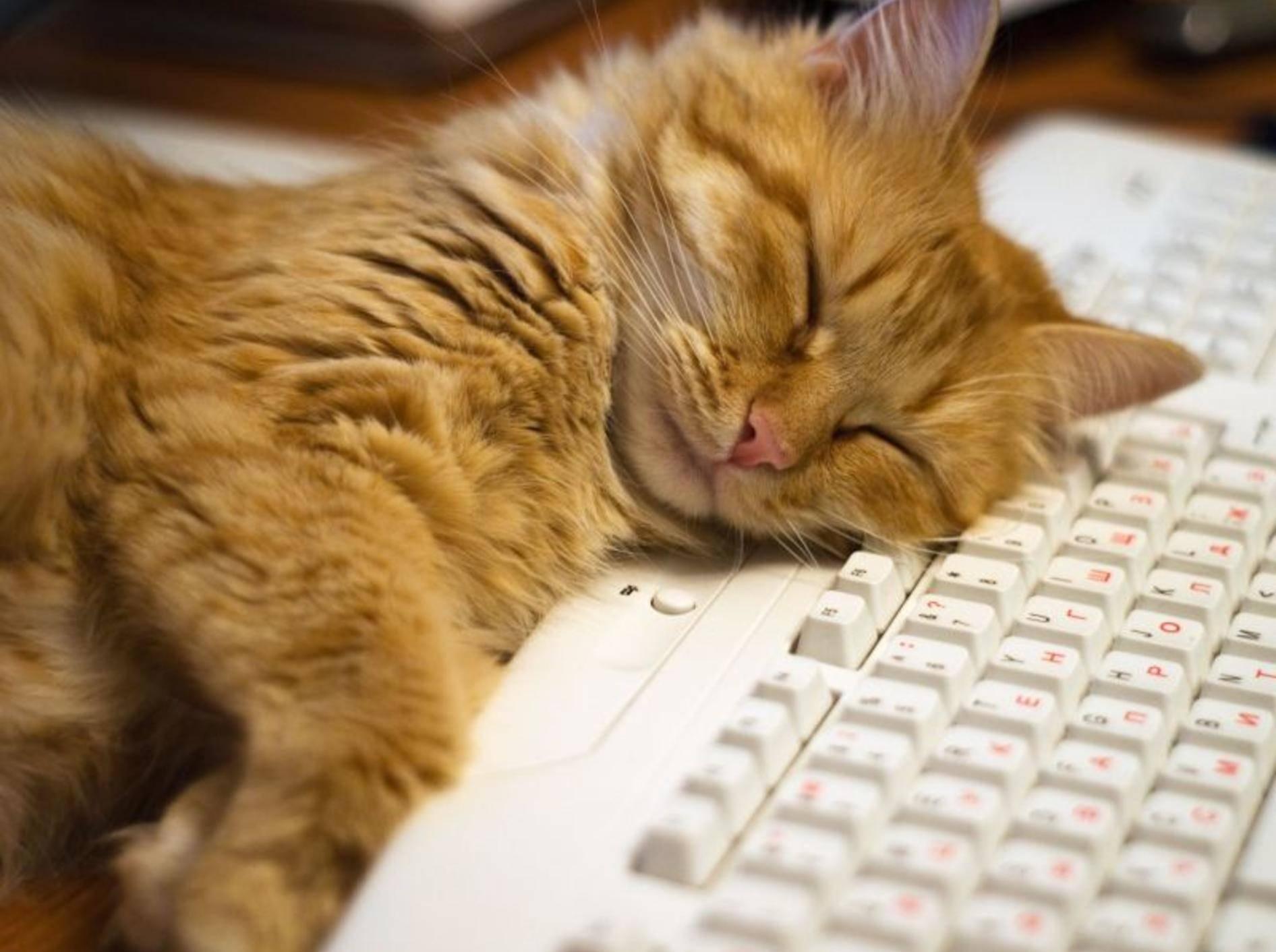 Roter Kater schläft am Computer