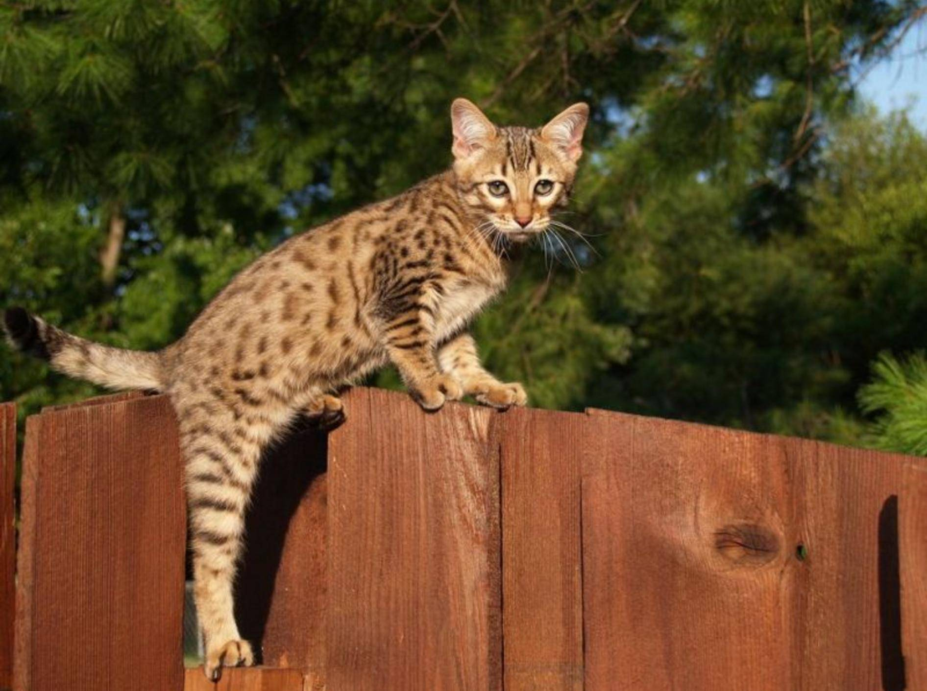 Die Savannah-Katze ist mit einem Preis von 6.000 bis 10.000 Euro der klare Sieger