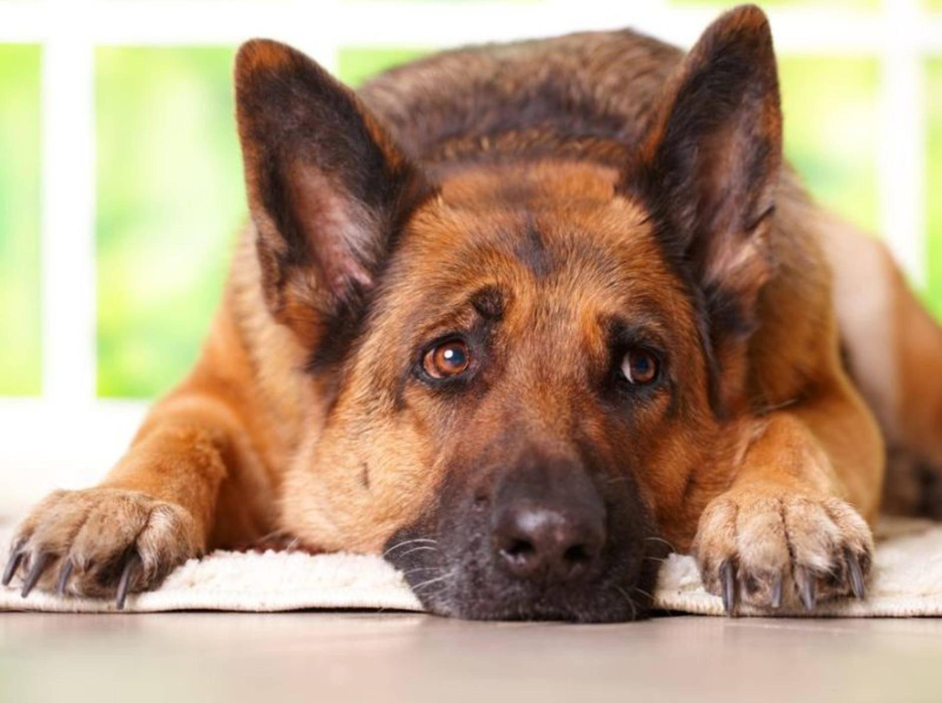 Schäferhund liegt