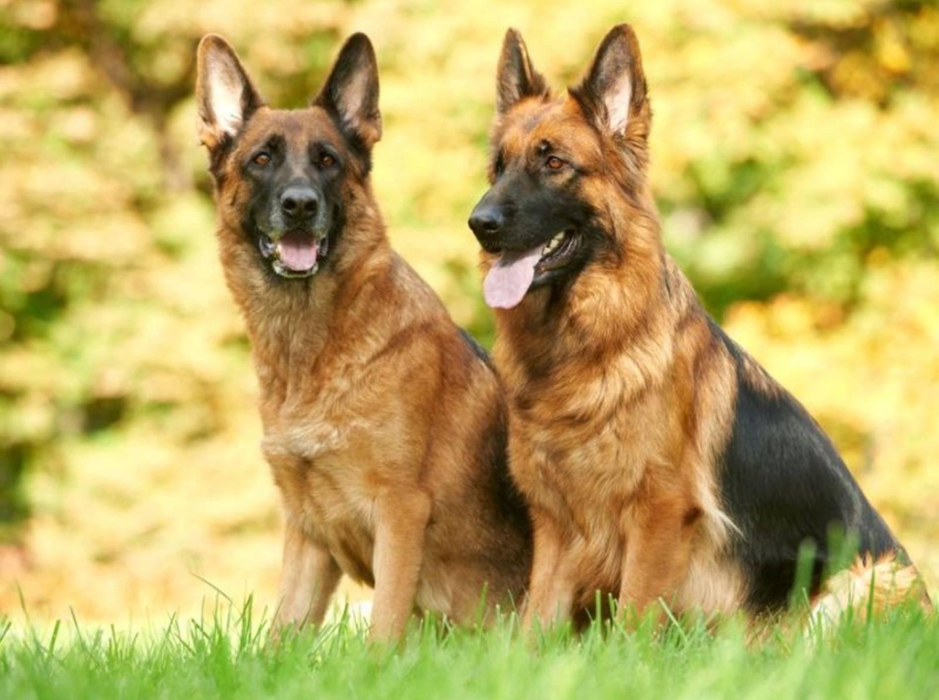 Zwei Schäferhunde auf der Wiese