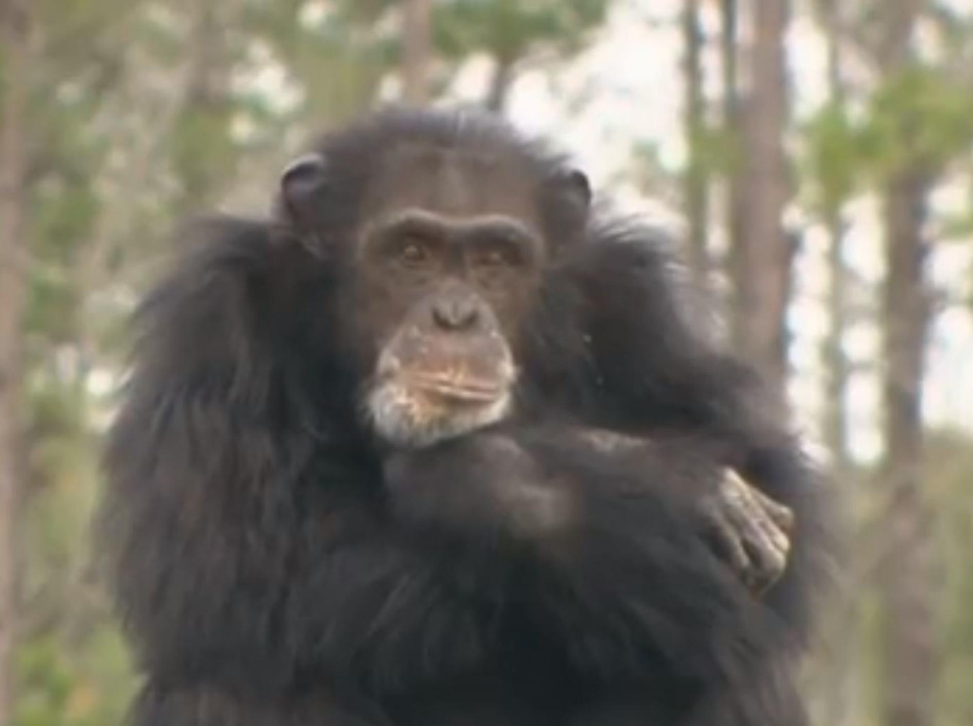 Affen erleben Midlife-Crisis