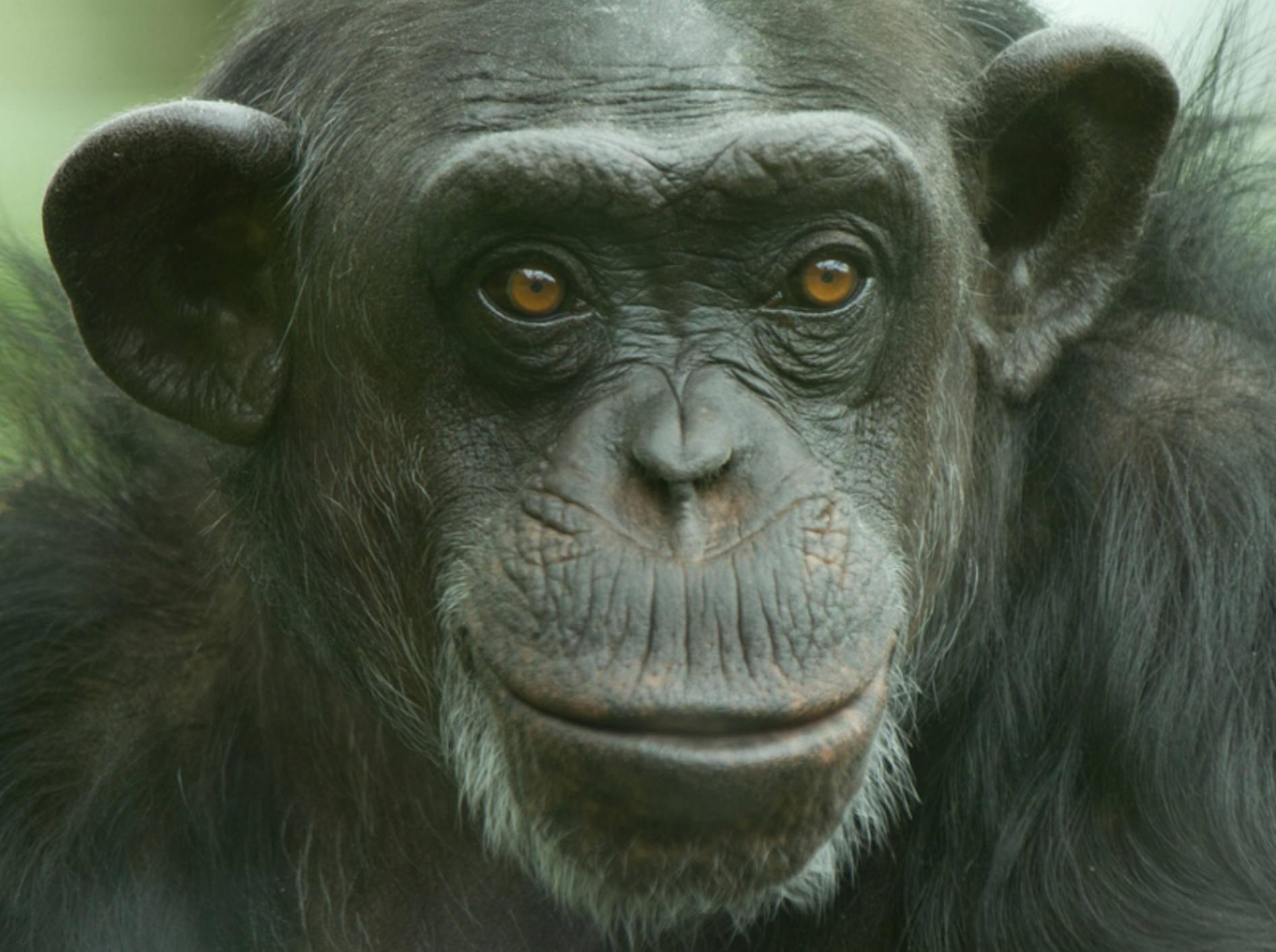 Auch Schimpansen beherrschen das Fair-Play-Prinzip