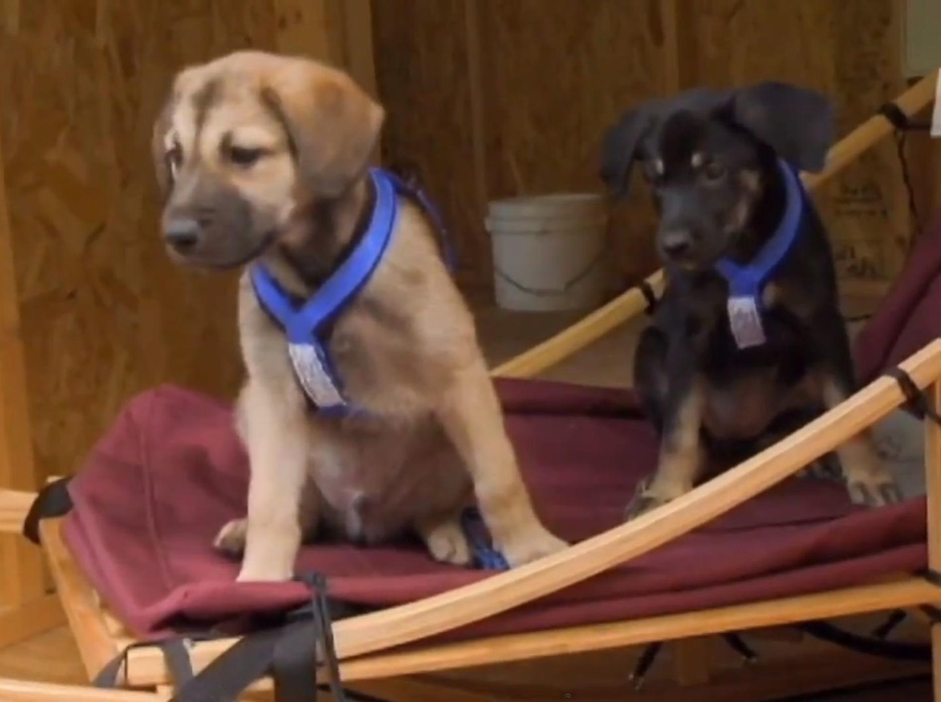 Chinook-Welpen lernen erste Schlittenhund-Lektion