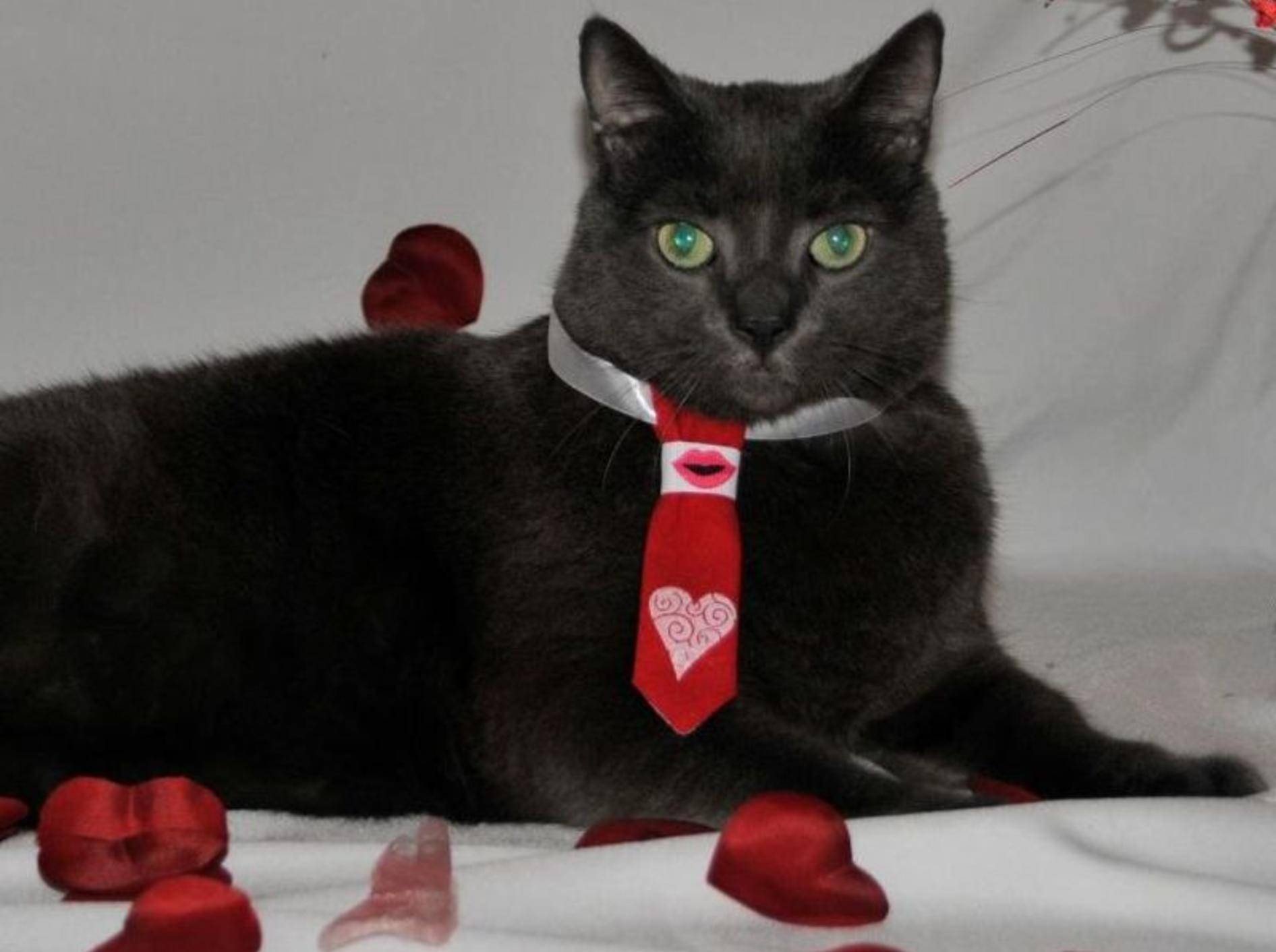 Dicke Katze Tiny mit Krawatte