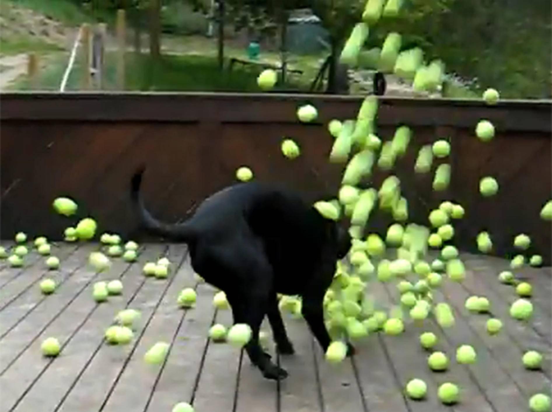 Schwarzer-Hund-Tennisbaelle-Spielen